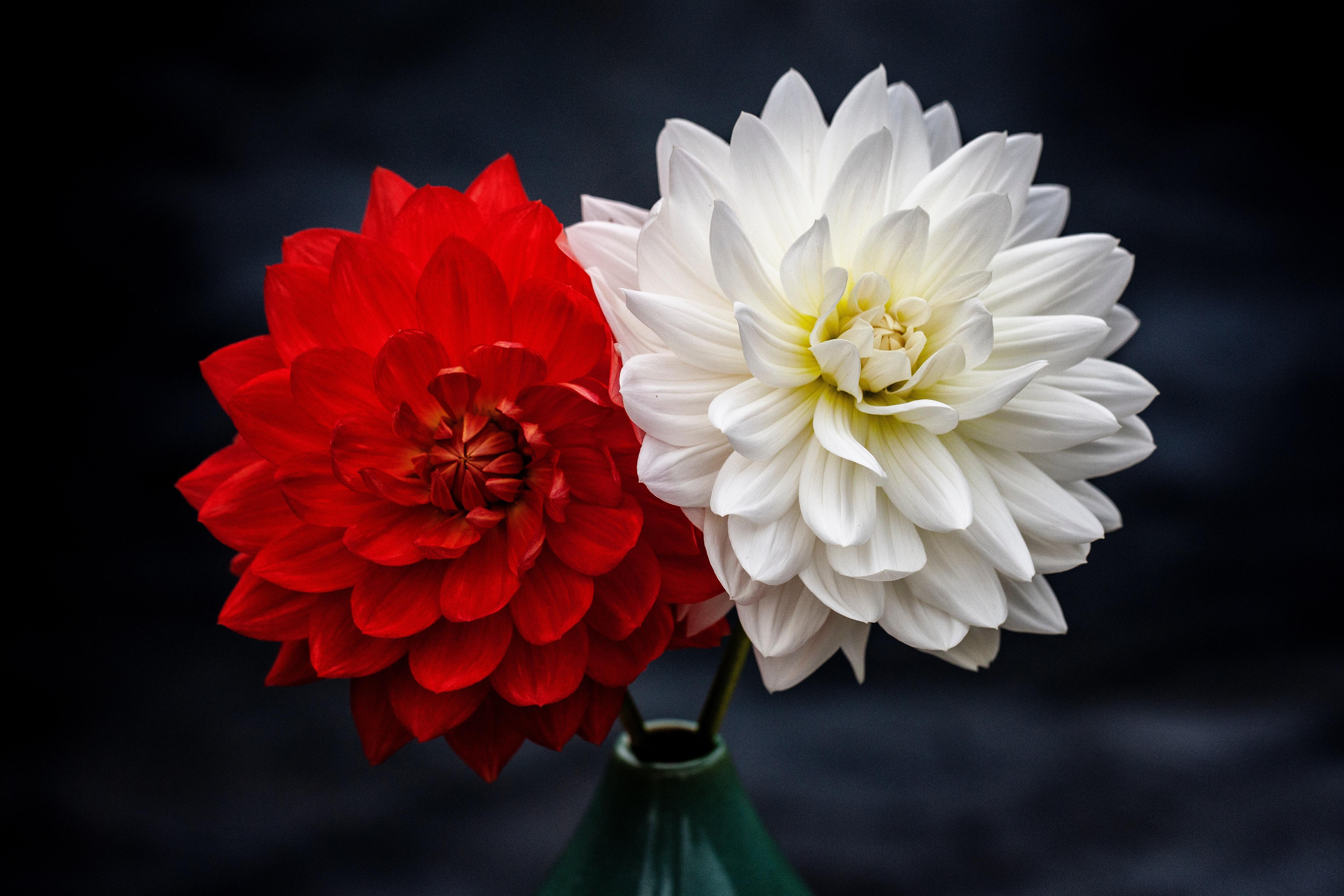 Обои стебель, цветок, оранжевая, Георгина, цветы. Цветы foto 17