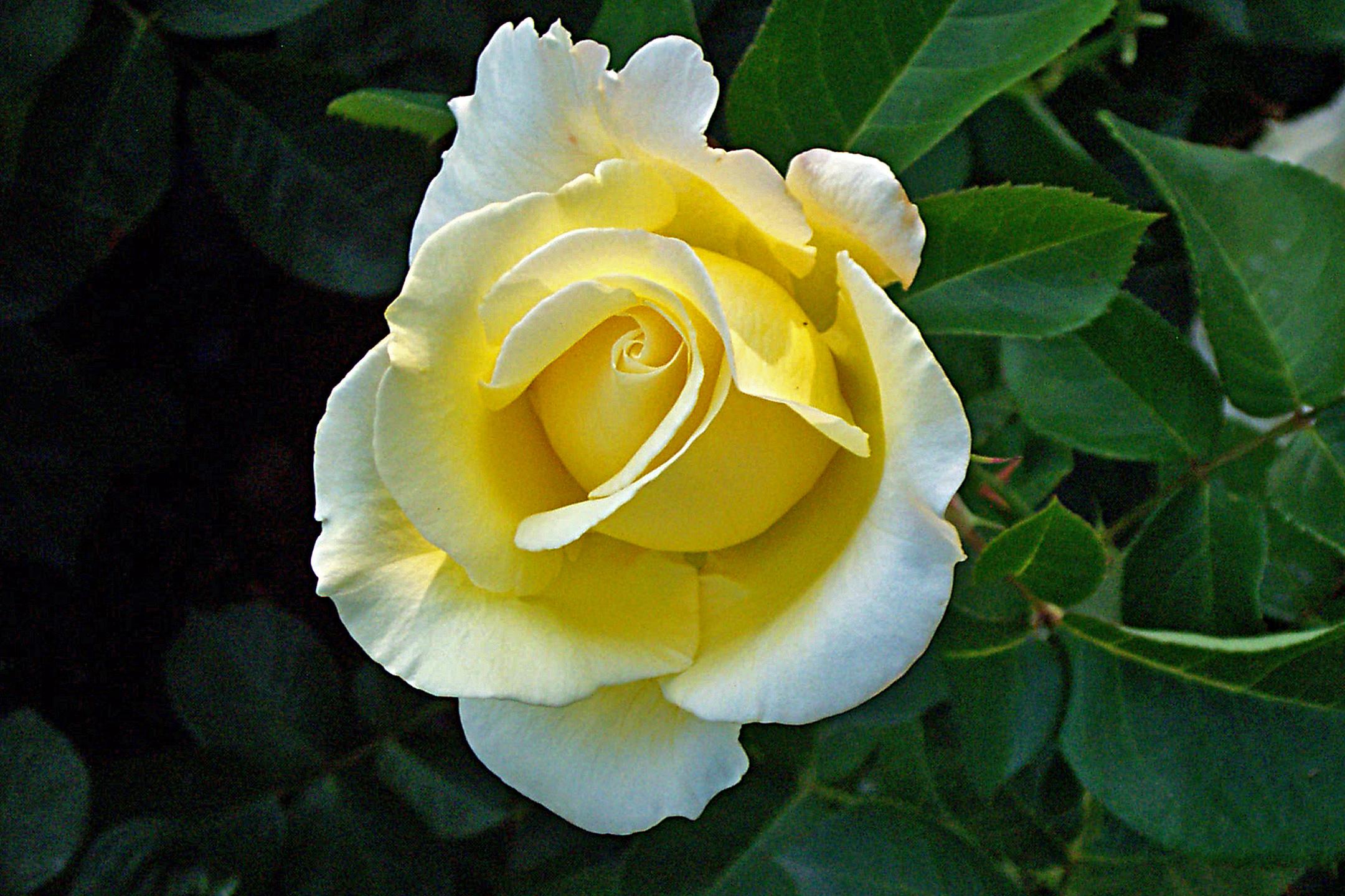 Immagini belle fiore famiglia di rosa giallo - Gardenia pianta da giardino ...