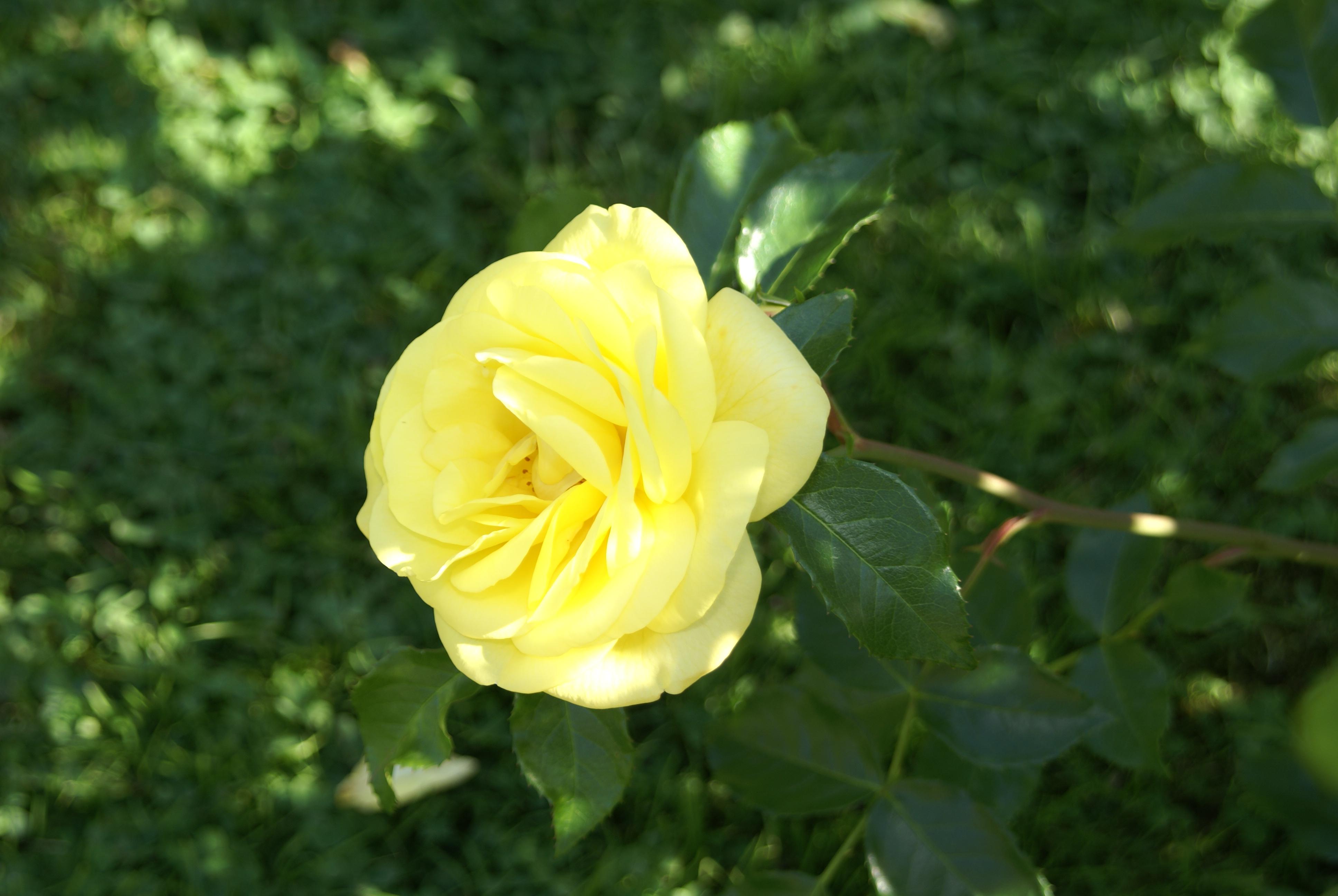 images gratuites fleur jaune rose famille flore floribunda plante fleurs ordre des. Black Bedroom Furniture Sets. Home Design Ideas