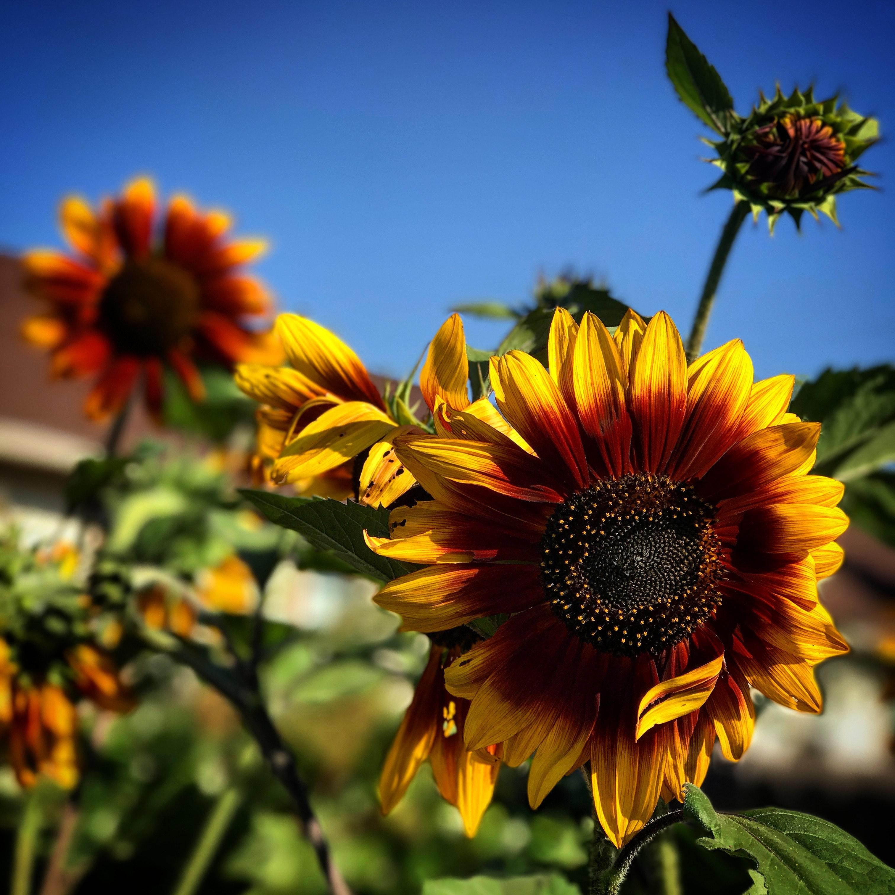 Gambar Bunga Matahari Tanaman Berbunga Langit Kuning Menanam Daun Bunga Bunga Liar Serbuk Sari Makanan Vegetarian Keluarga Daisy Asterales Biji Bunga Matahari Tanaman Tahunan Masakan Tanaman Abadi 3024x3024 1507303 Galeri Foto