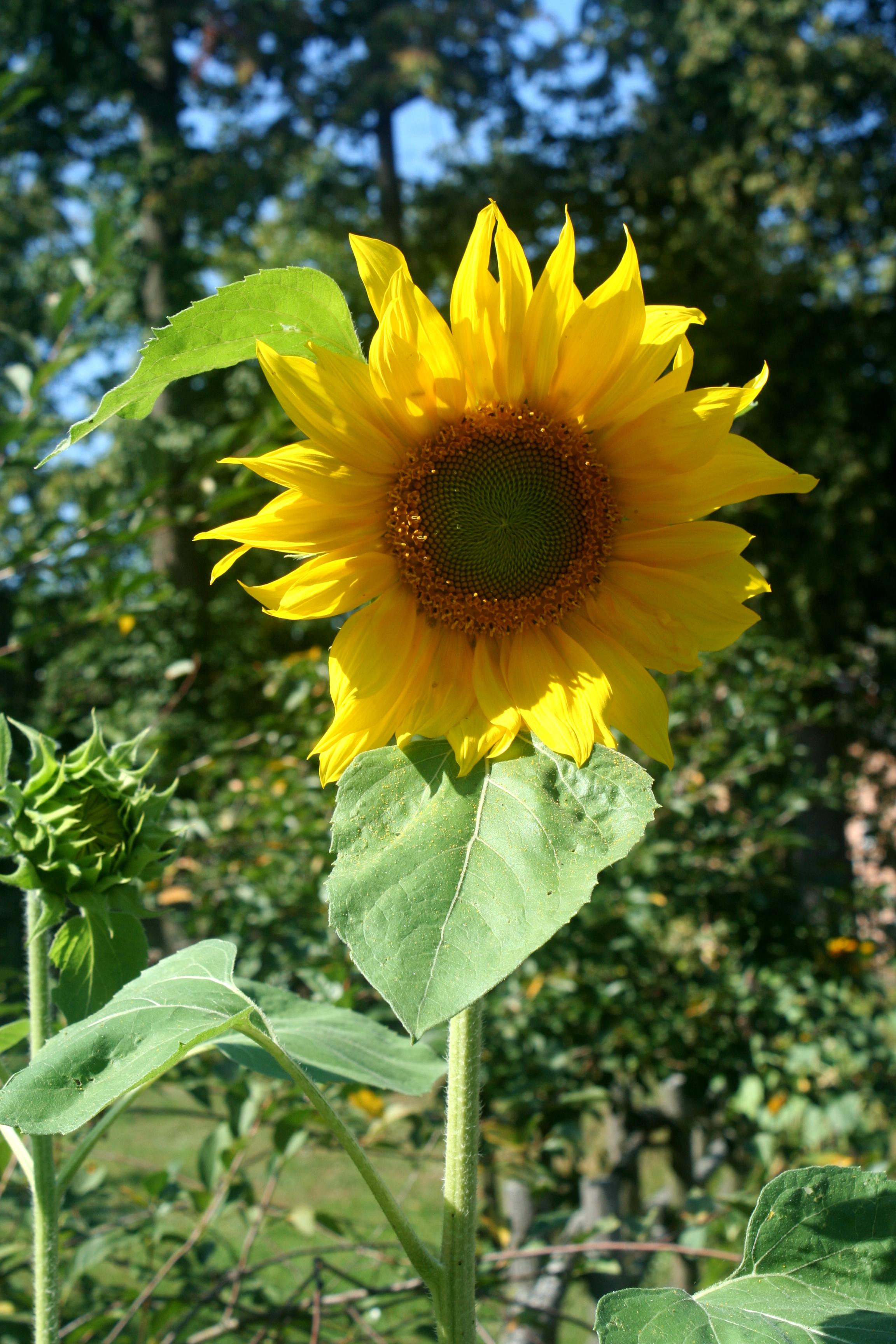 Gambar Bunga Matahari Desa Alam Tanaman Berbunga Menanam Kuning Biji Bunga Matahari Daun Bunga Perkebunan Botani Serbuk Sari Langit Bunga Liar Tanaman Tahunan Asterales Bidang Keluarga Daisy Makanan Vegetarian Masakan Pemandangan
