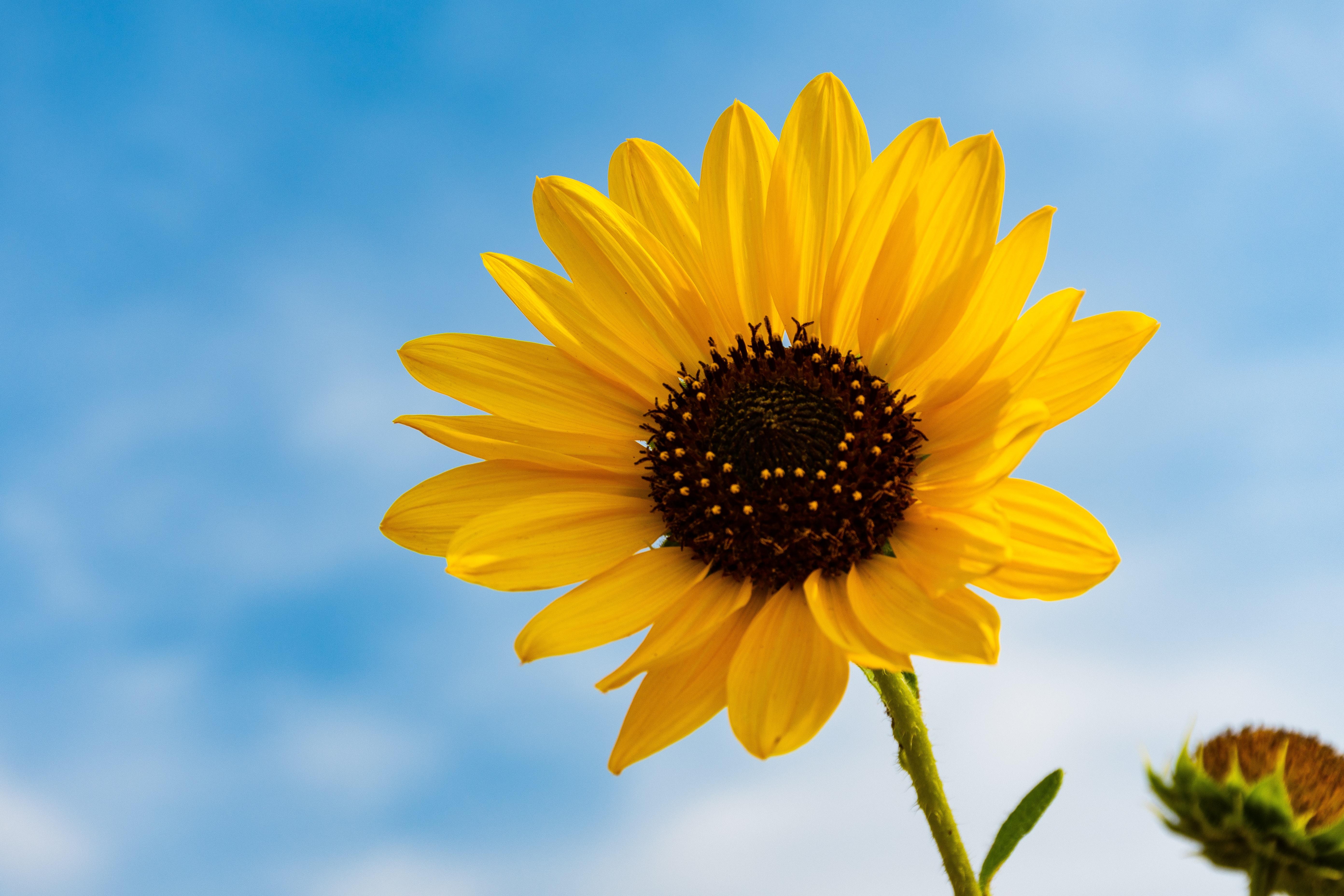 500+ Gambar Bunga Matahari Wallpaper HD