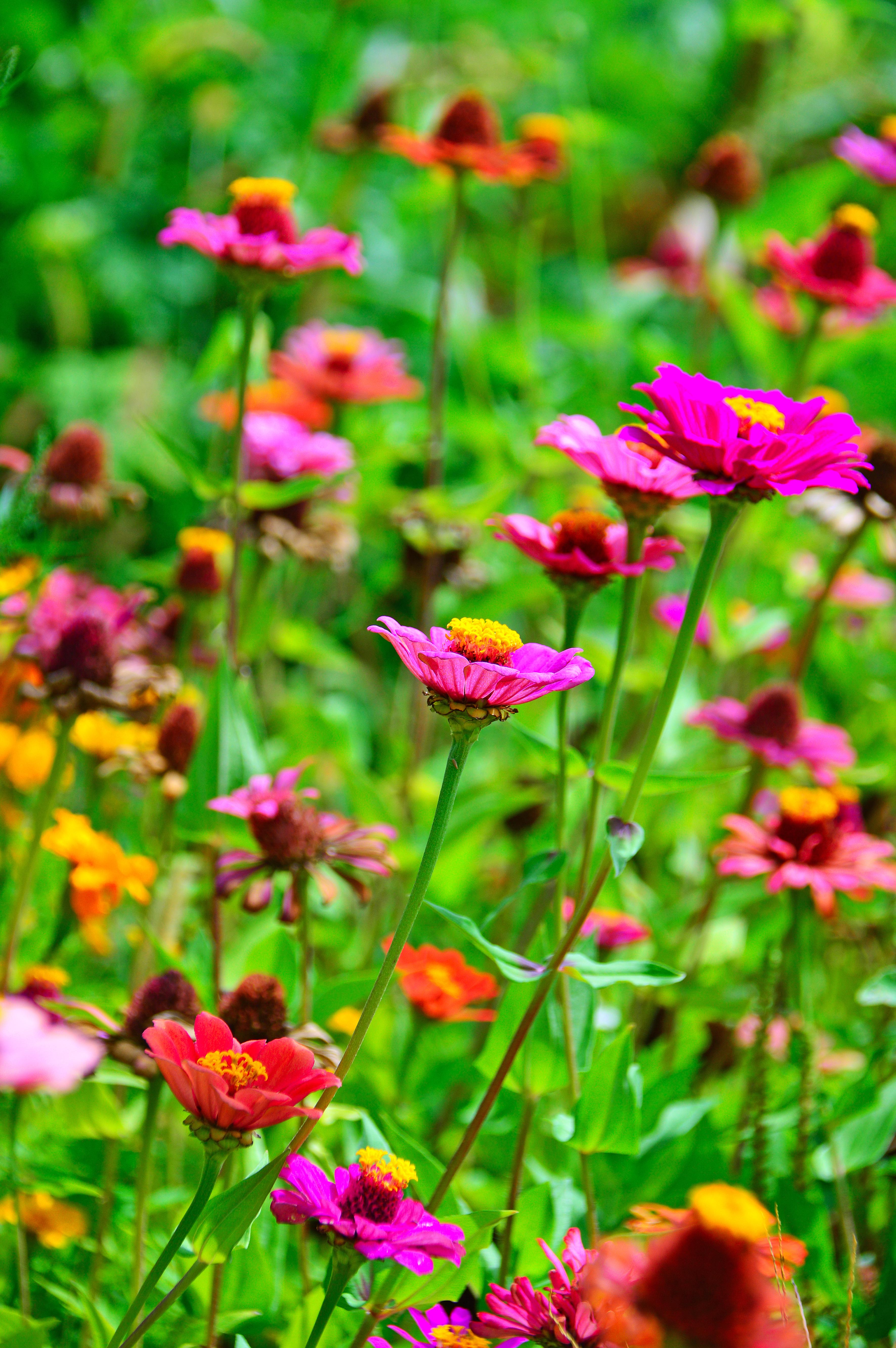 Flower Wildflower Flora Plant Spring Petal Gr Annual Meadow Garden Cosmos Flowering Stem