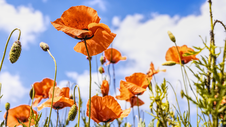 hình ảnh : Hoa dại, Cây anh túc, Mùa xuân, Bầu trời, Hệ thực vật, Gia đình anh túc, thực vật, Thân cây, Cánh hoa, thực vật có hoa, đồng cỏ, ...