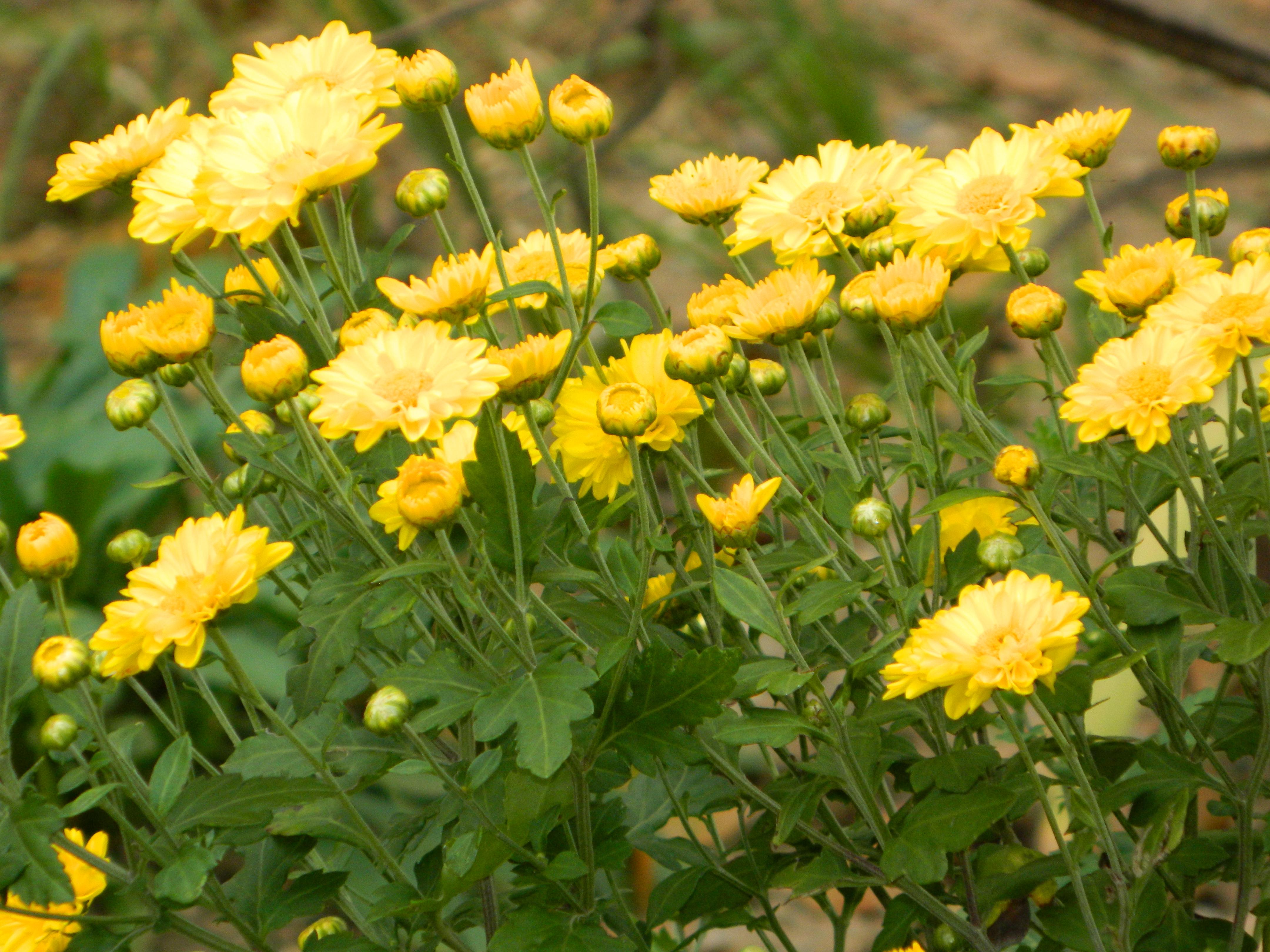 Arbusto A Fiori Gialli immagini belle : fiore, giallo, famiglia delle margherite