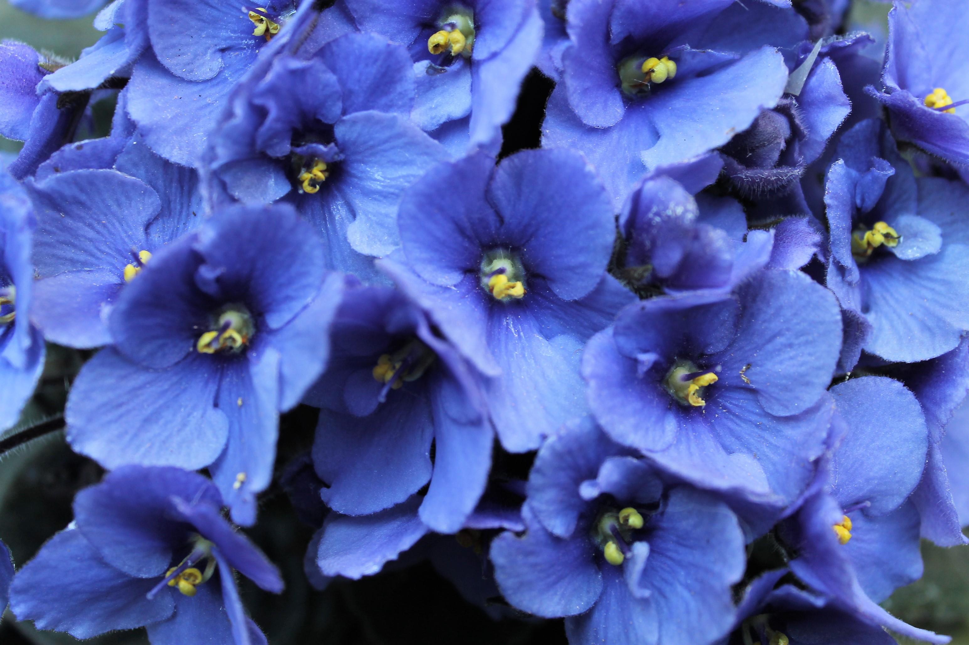 Gambar Bunga Bunga African Violet Tanaman Berbunga Biru Menanam Daun Bunga Ungu Biola Keluarga Violet Delphinium Tanaman Tahunan Tanaman Abadi 3088x2056 Peter Calleja 1590523 Galeri Foto Pxhere