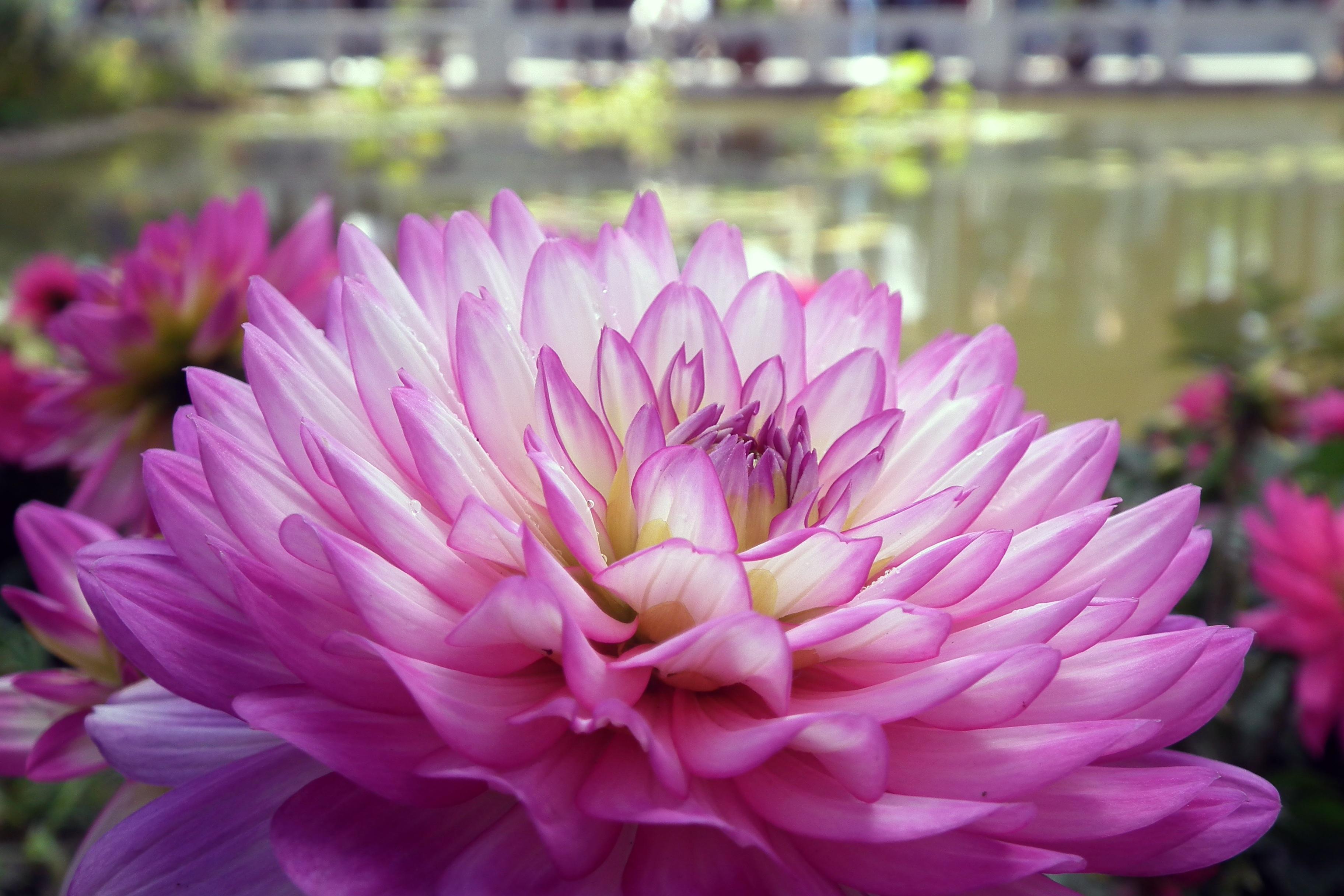 Gratis billeder : blomster, krysantemum, makro, Floriade, tæt på ...