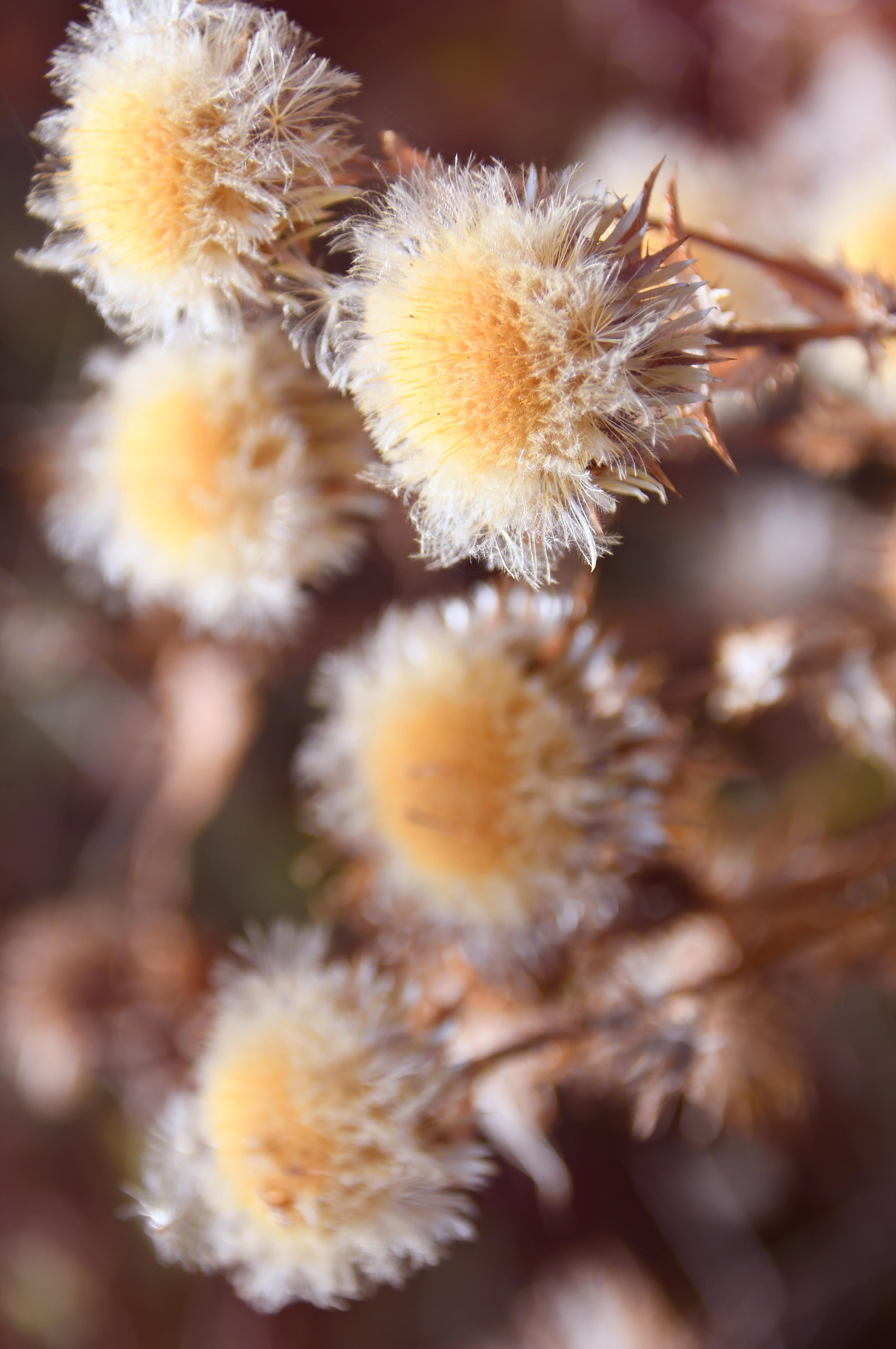 hình ảnh : khô, Mùa thu, bị cô lập, lý lịch, thực vật, trắng, đã chết, thiên nhiên, hàng đầu, bàn, Gỗ, tự nhiên, Cây ngưu bàng, sắc đẹp, vẻ đẹp, ngã, ...