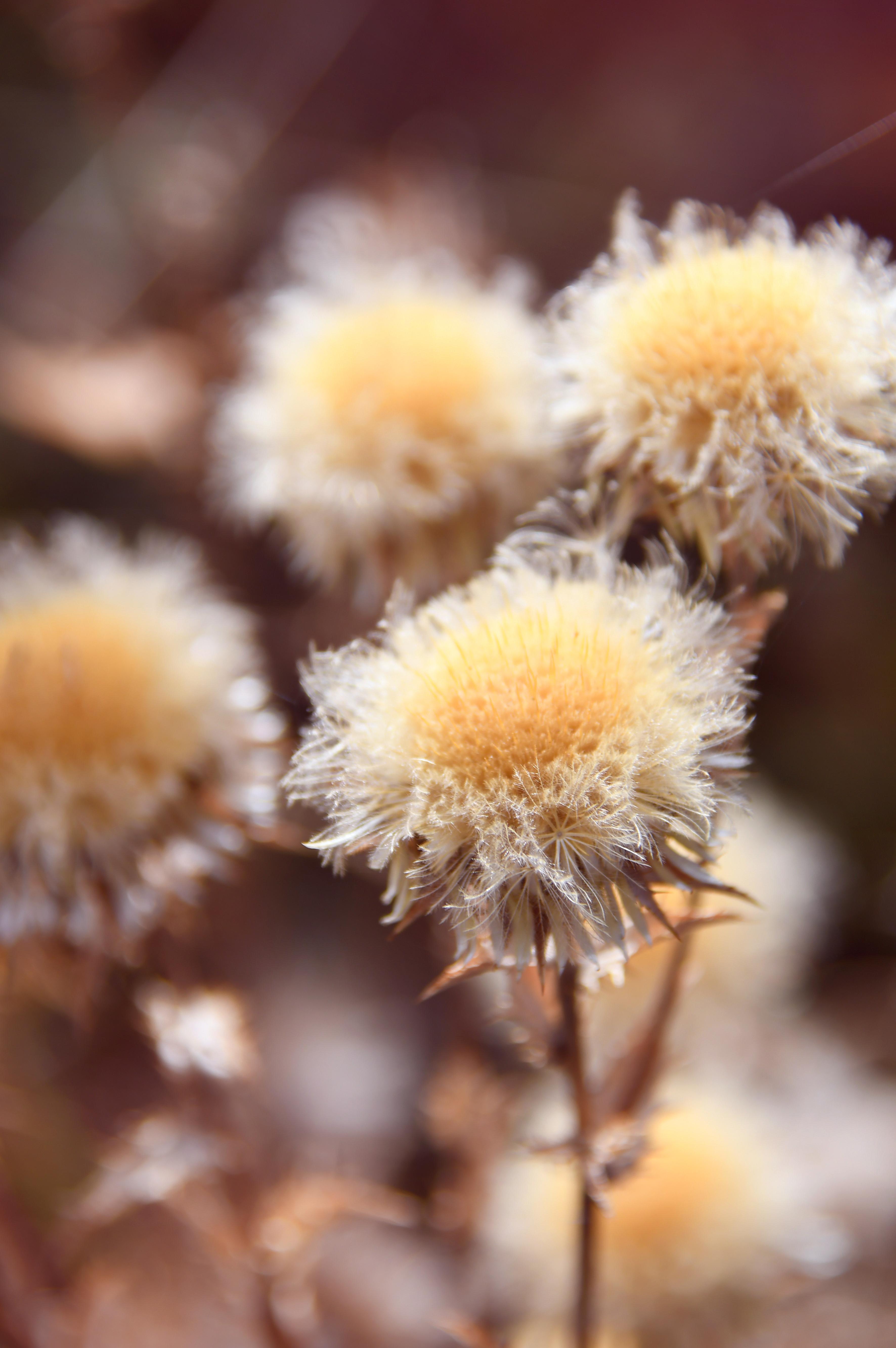 hình ảnh : khô, hoa, Mùa thu, bị cô lập, lý lịch, thực vật, trắng, đã chết, thiên nhiên, hàng đầu, bàn, Gỗ, tự nhiên, Cây ngưu bàng, sắc đẹp, vẻ đẹp, ...