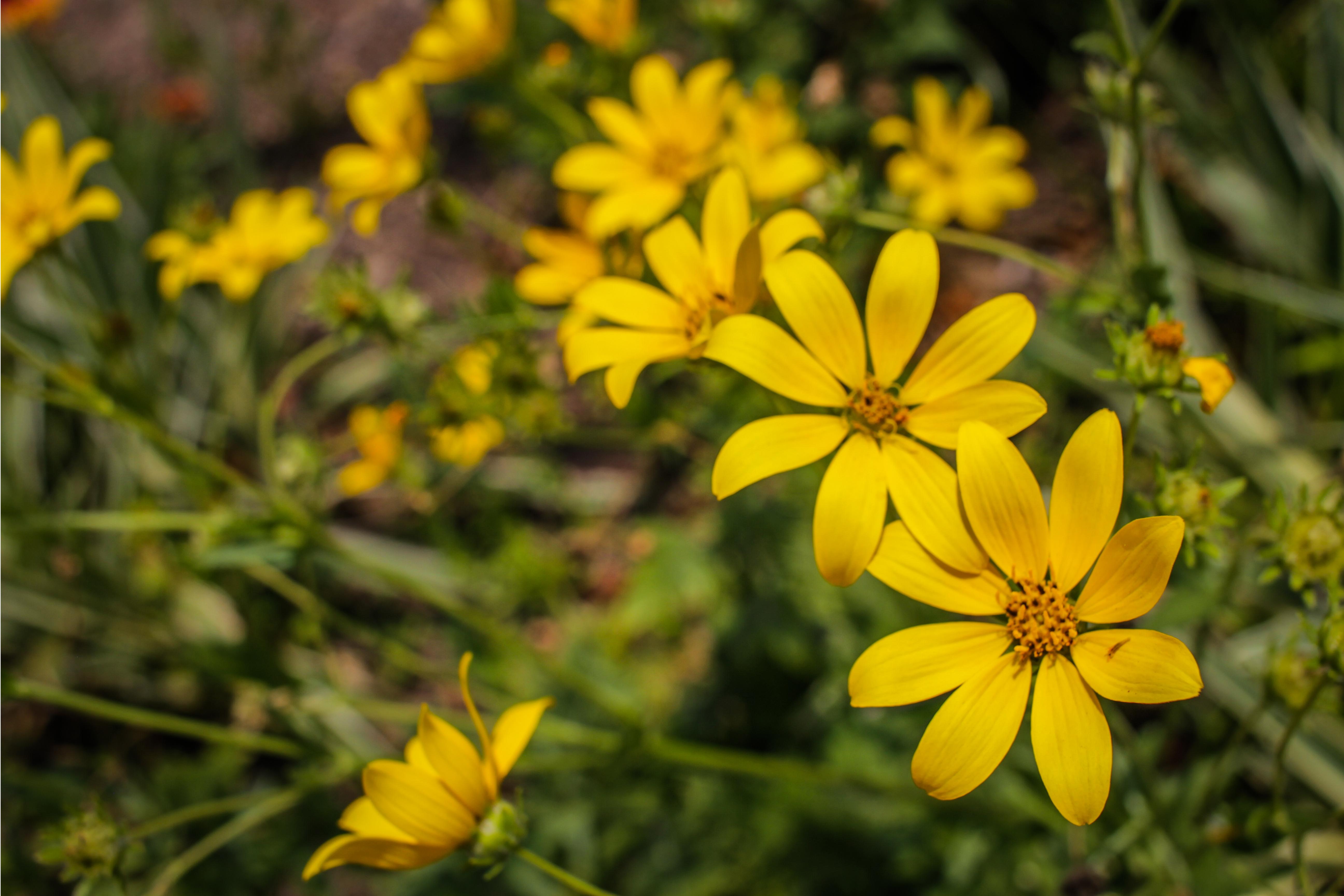 Images Gratuites Fleur Plante à Fleurs Jaune Euryops Pectinatus