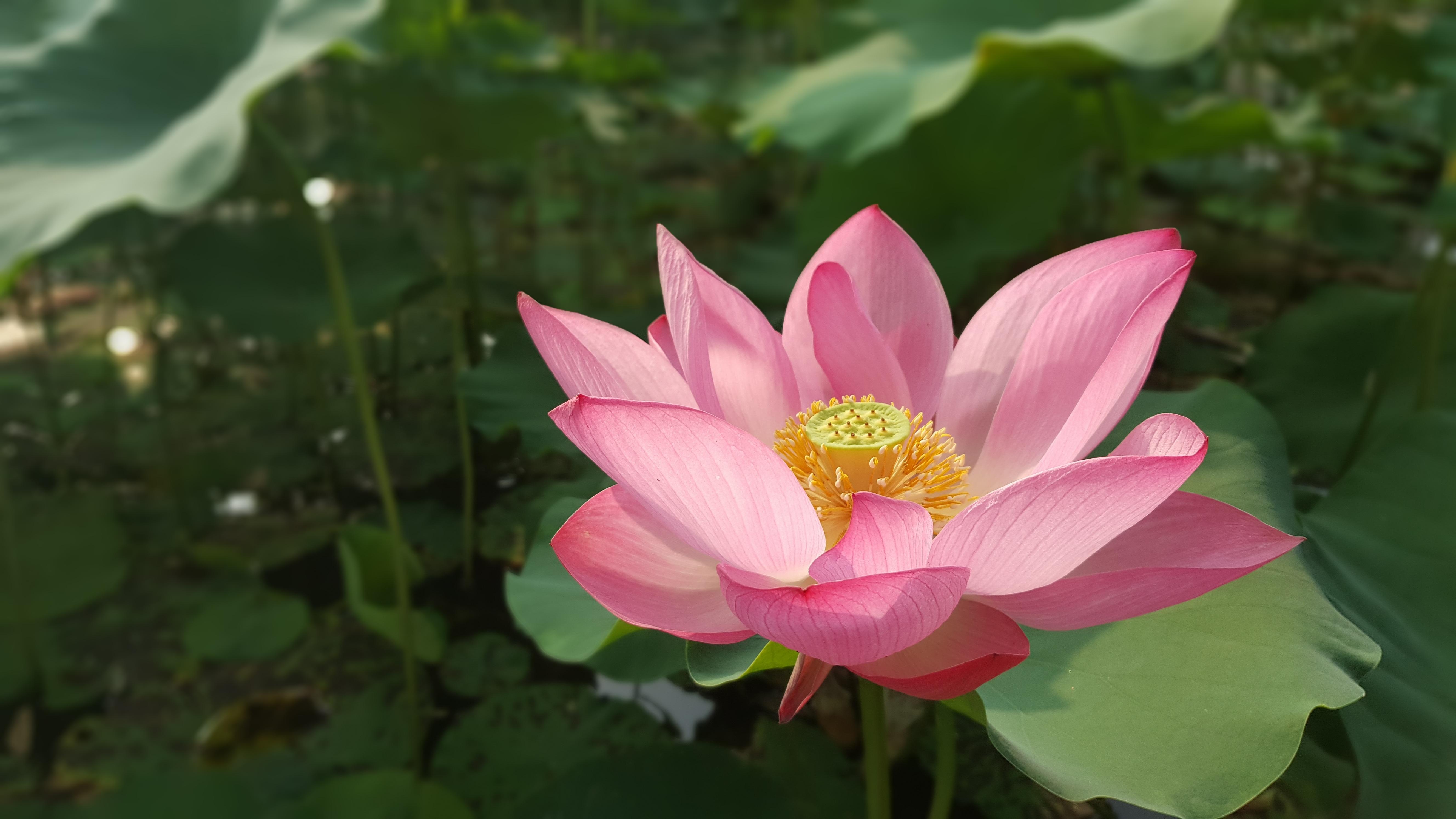 Images Gratuites Fleurs Fleur Lotus Nelumbo Nucifera Lotus