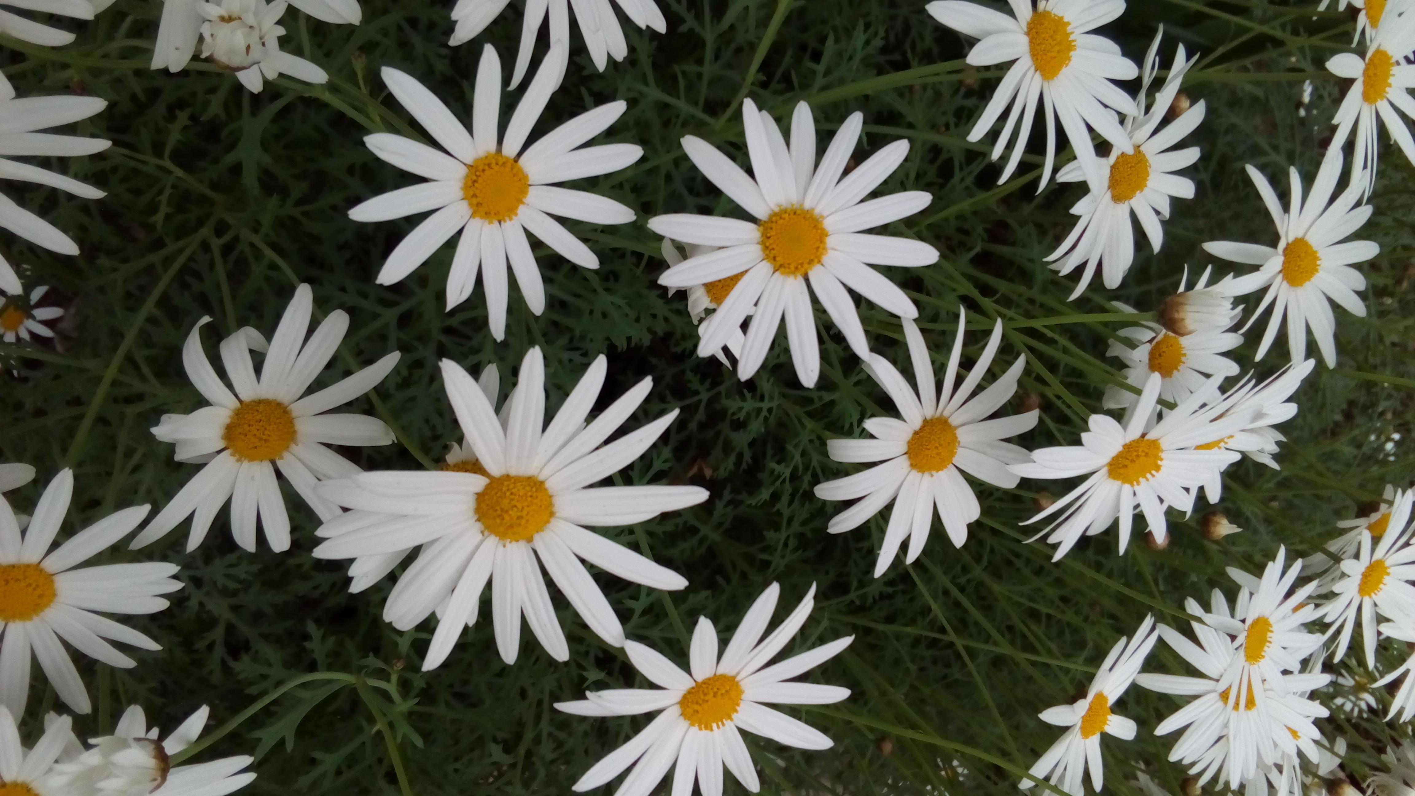 Gambar Bunga Bunga Putih Kuning Marguerite Daisy