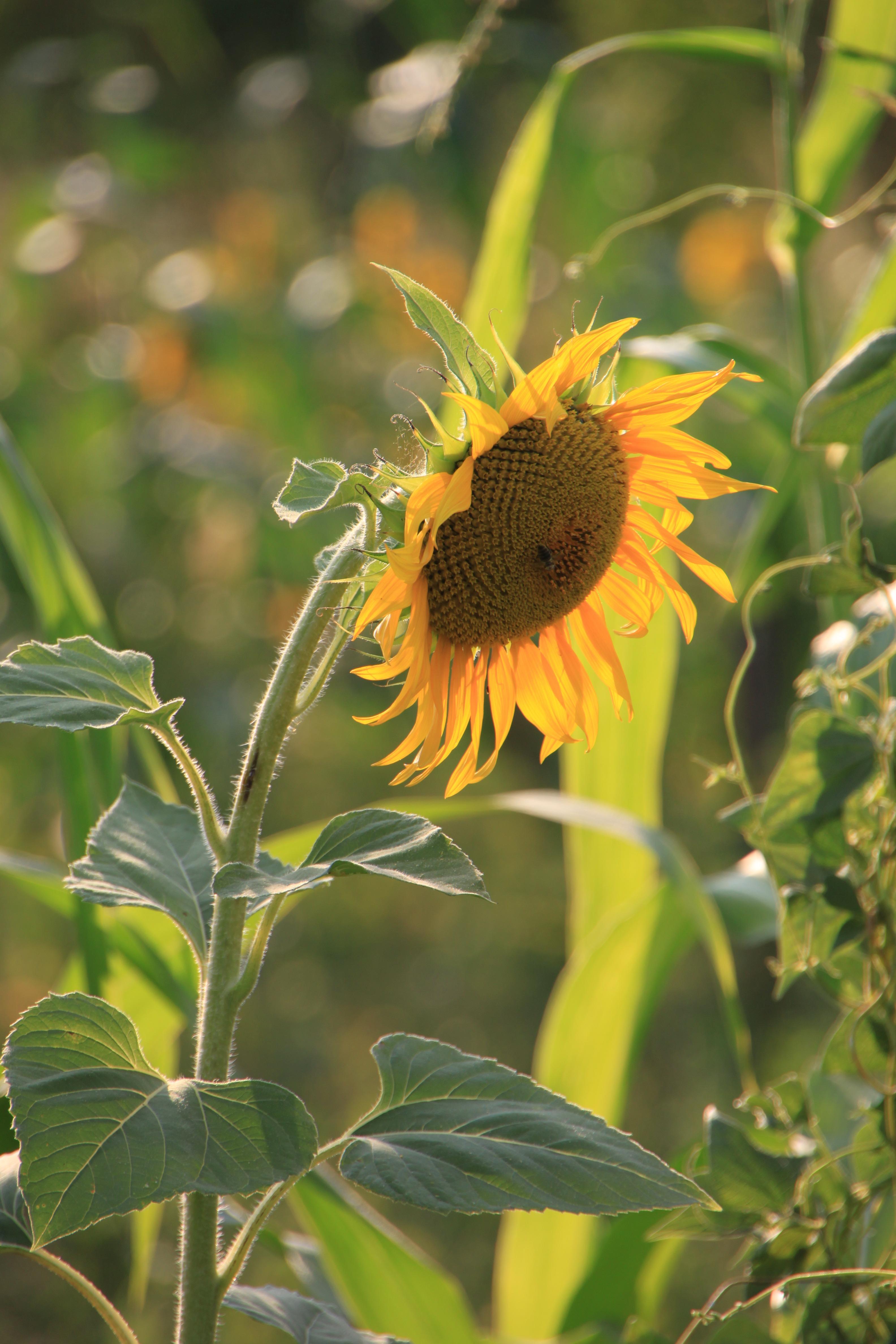 flowers-helianthus-sun-sunflower-sunflowers-yellow-plants-1248575 Job Form on pennsylvania state tax, income tax,