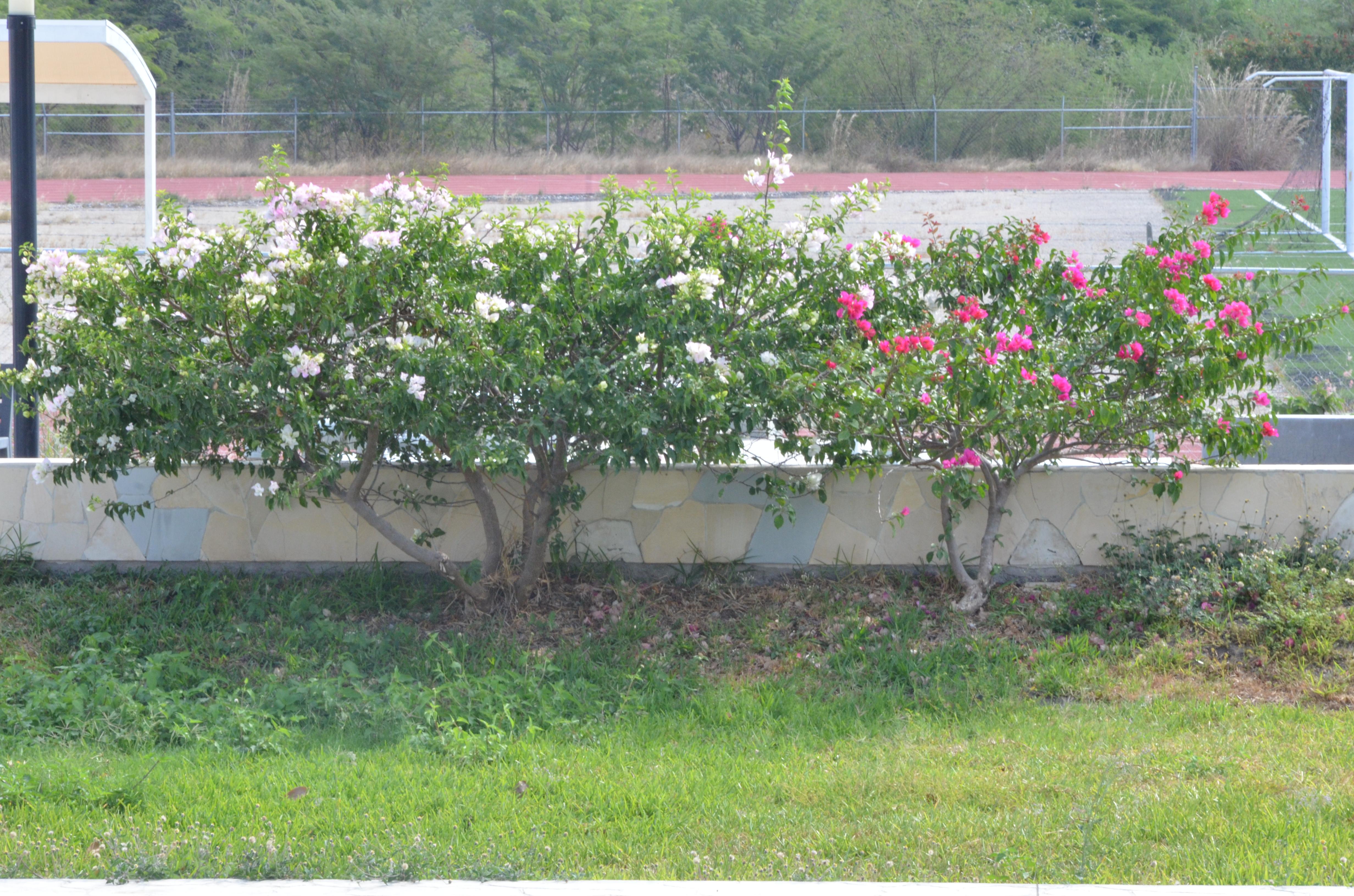 Free Images Flowers Tree White Rose Grass Flower Shrub Land