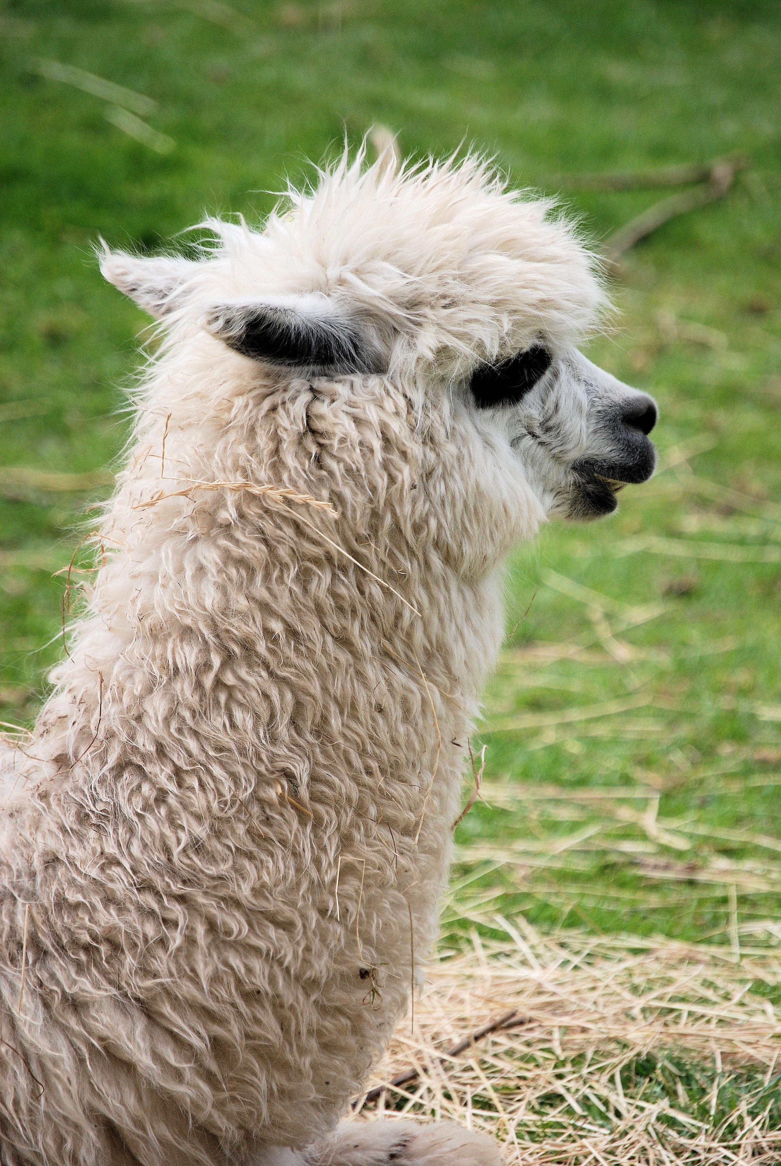 hình ảnh : Lông mượt, Động vật có vú, len, Động vật, Alpaca, Động vật có  xương sống, Camelid, Lạc đà như động vật có vú, Llama glama 2592x3872