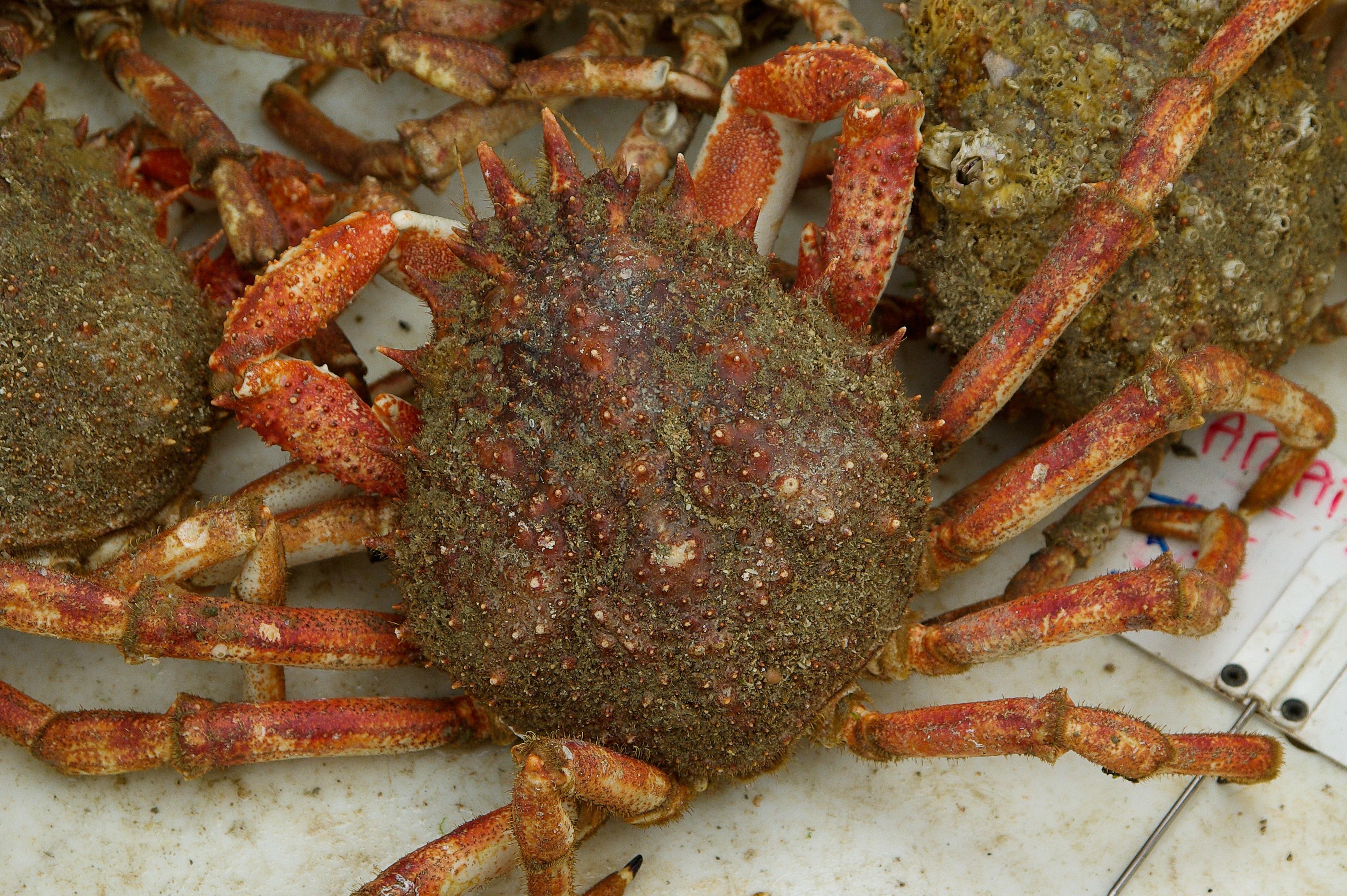 Images Gratuites : aliments, Fruit de mer, poisson, faune, invertébré, crustacé, Araign? e ...