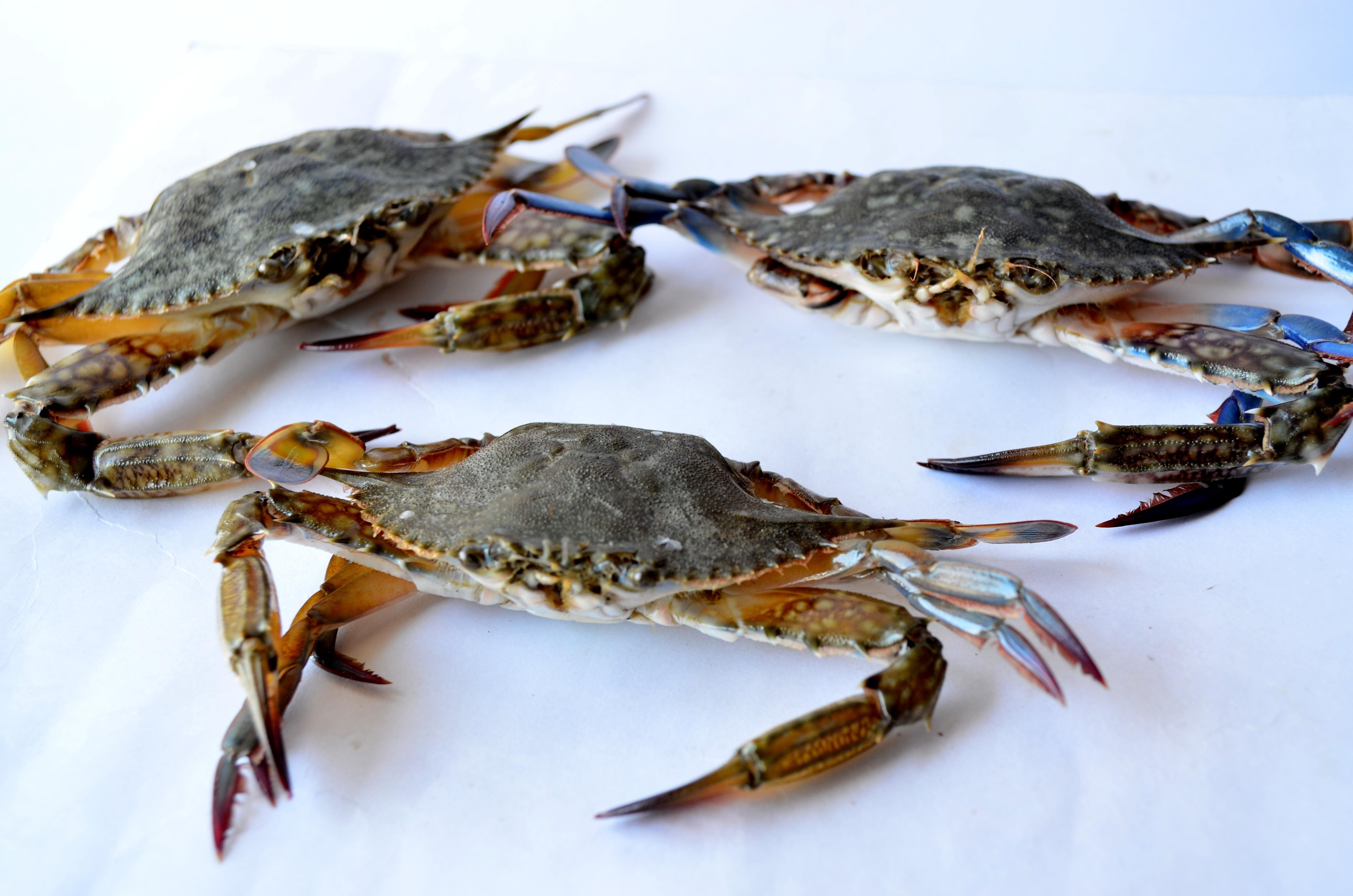 Free images seafood fresh aquatic fish gourmet for Blue crab fishing