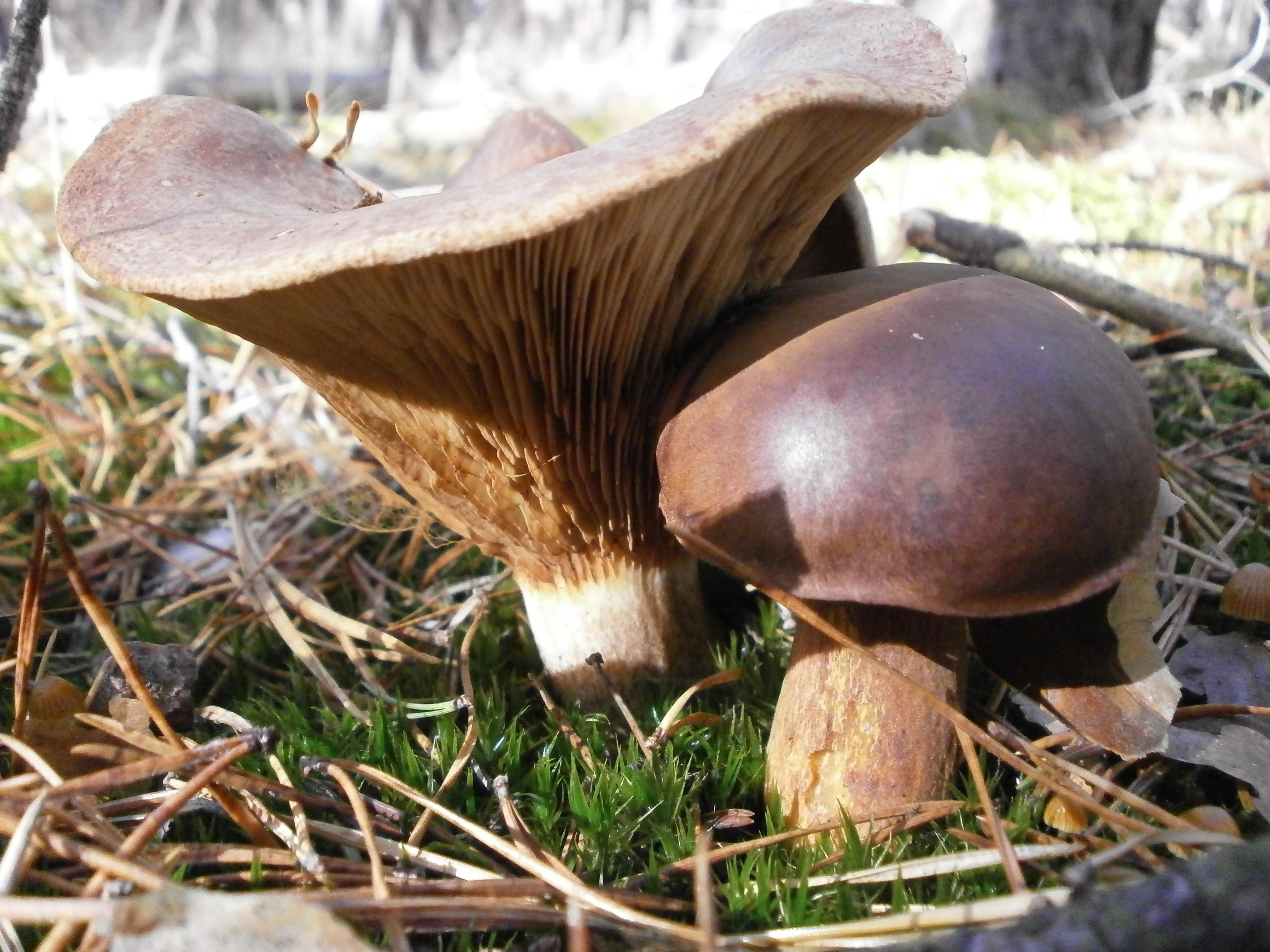 Поздние осенние грибы названия и фото