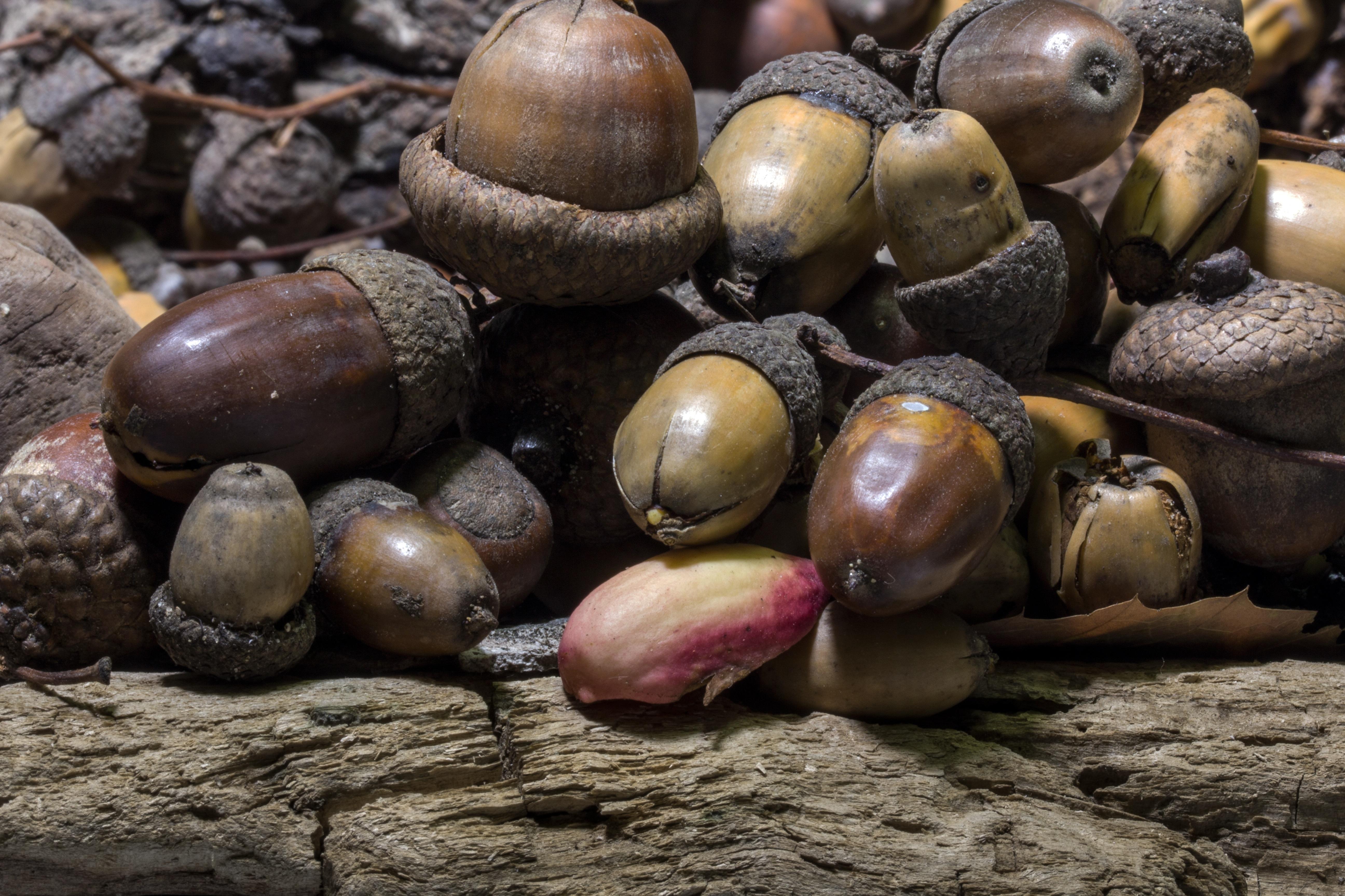 rừng món ăn Sản xuất Mùa thu Cây sồi Acorns Trái cây Oak fruit hạt dẻ