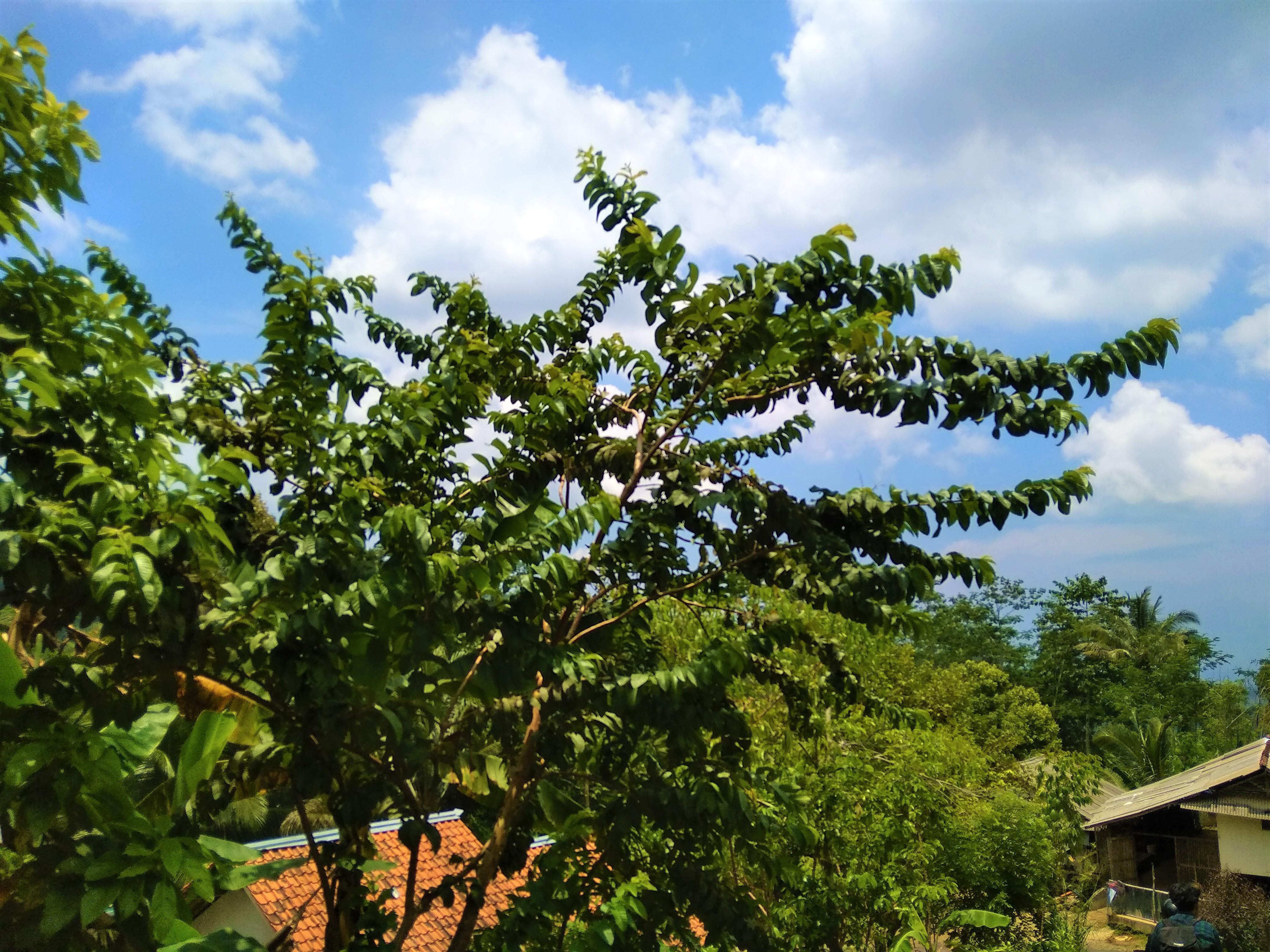 Piante Da Frutto Sempreverdi immagini belle : foresta, pangandaran, soleggiato, giorno