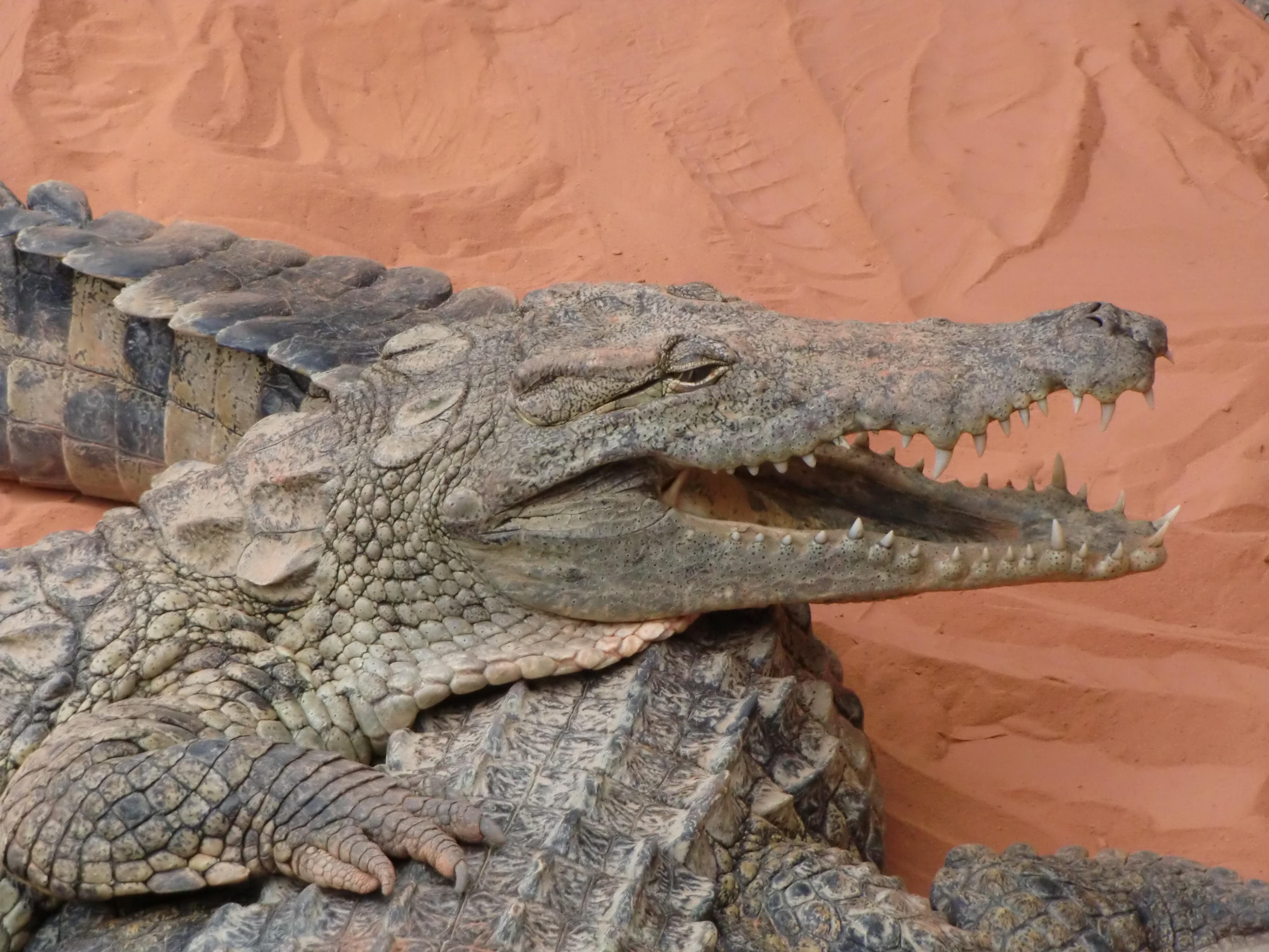 Alligaattori Krokotiili