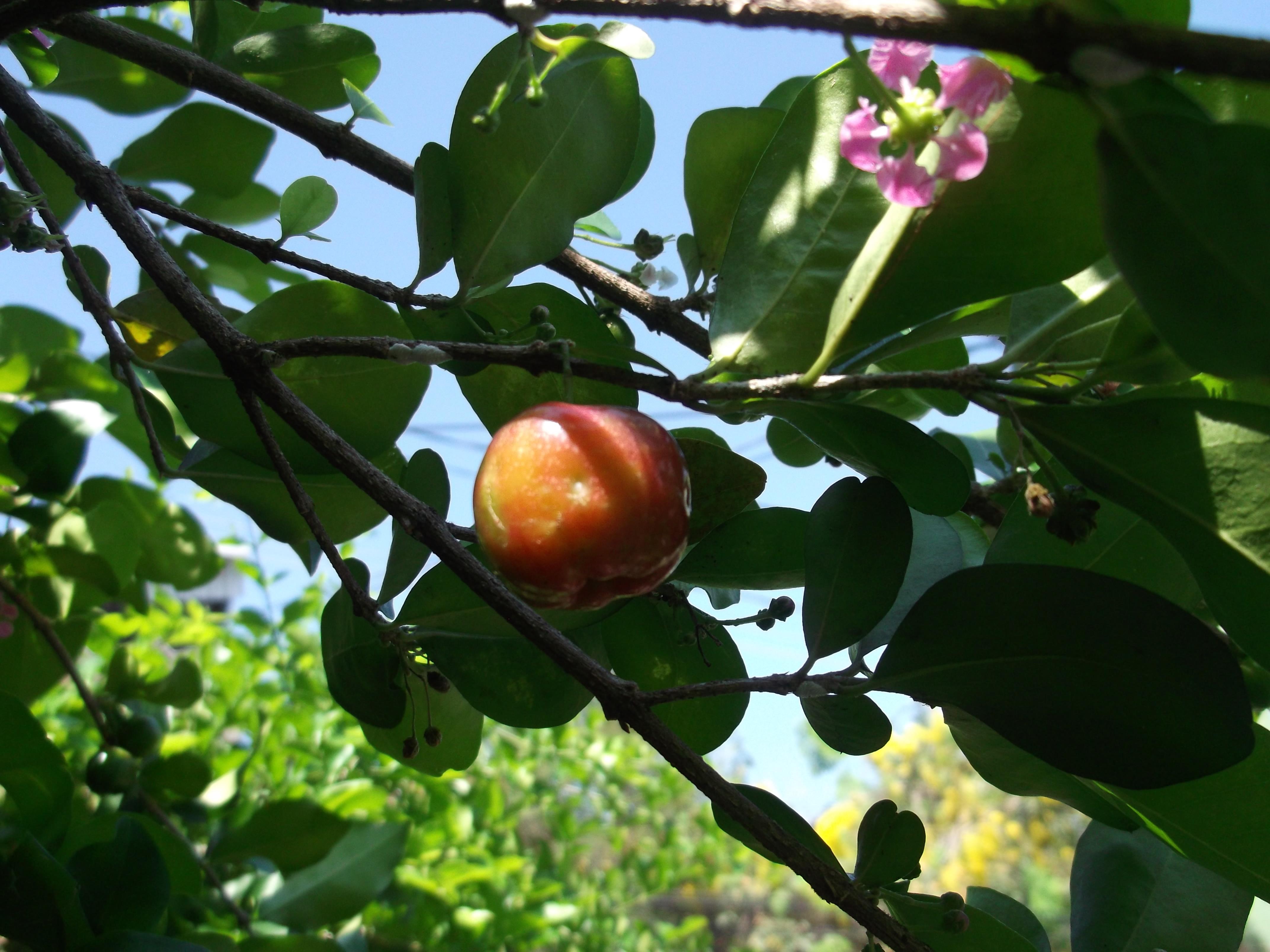 Foto Di Alberi Da Frutto immagini belle : albero da frutta, pianta, flora, diospyros