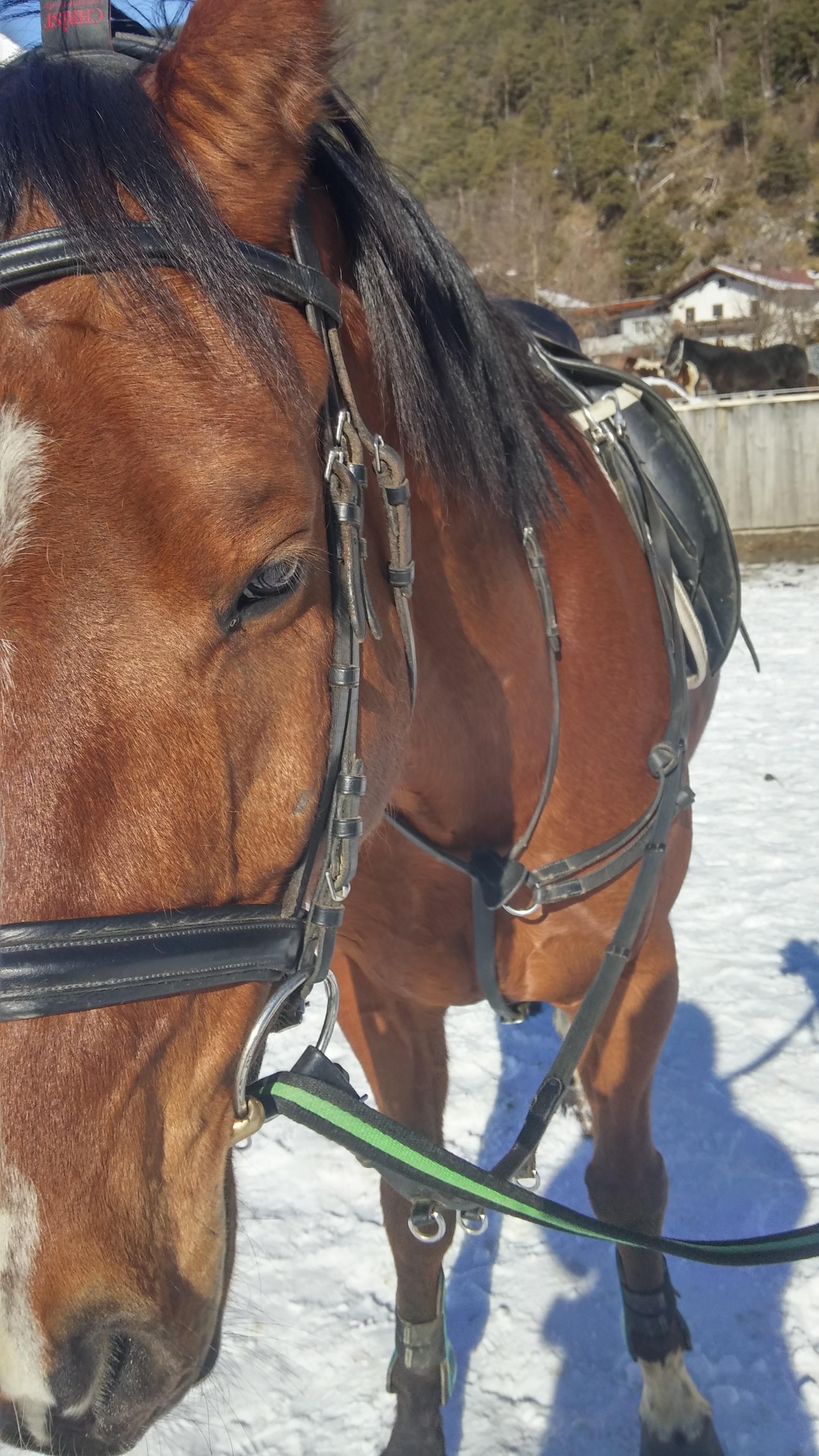 Free Images : fur, brown, rein, stallion, mane, bridle, saddle, mare