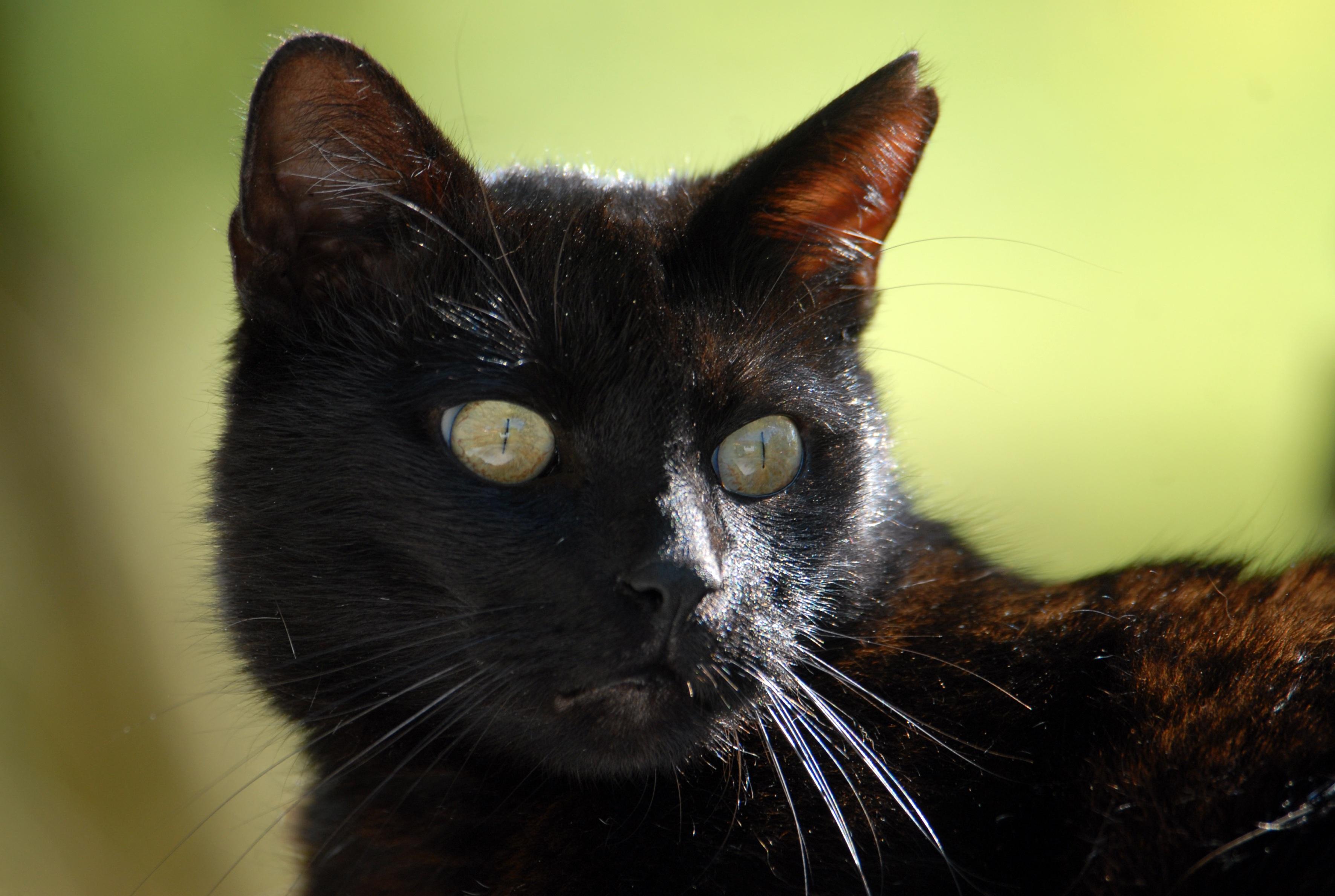 čierna mačička zblízka čierna mačička nad 30