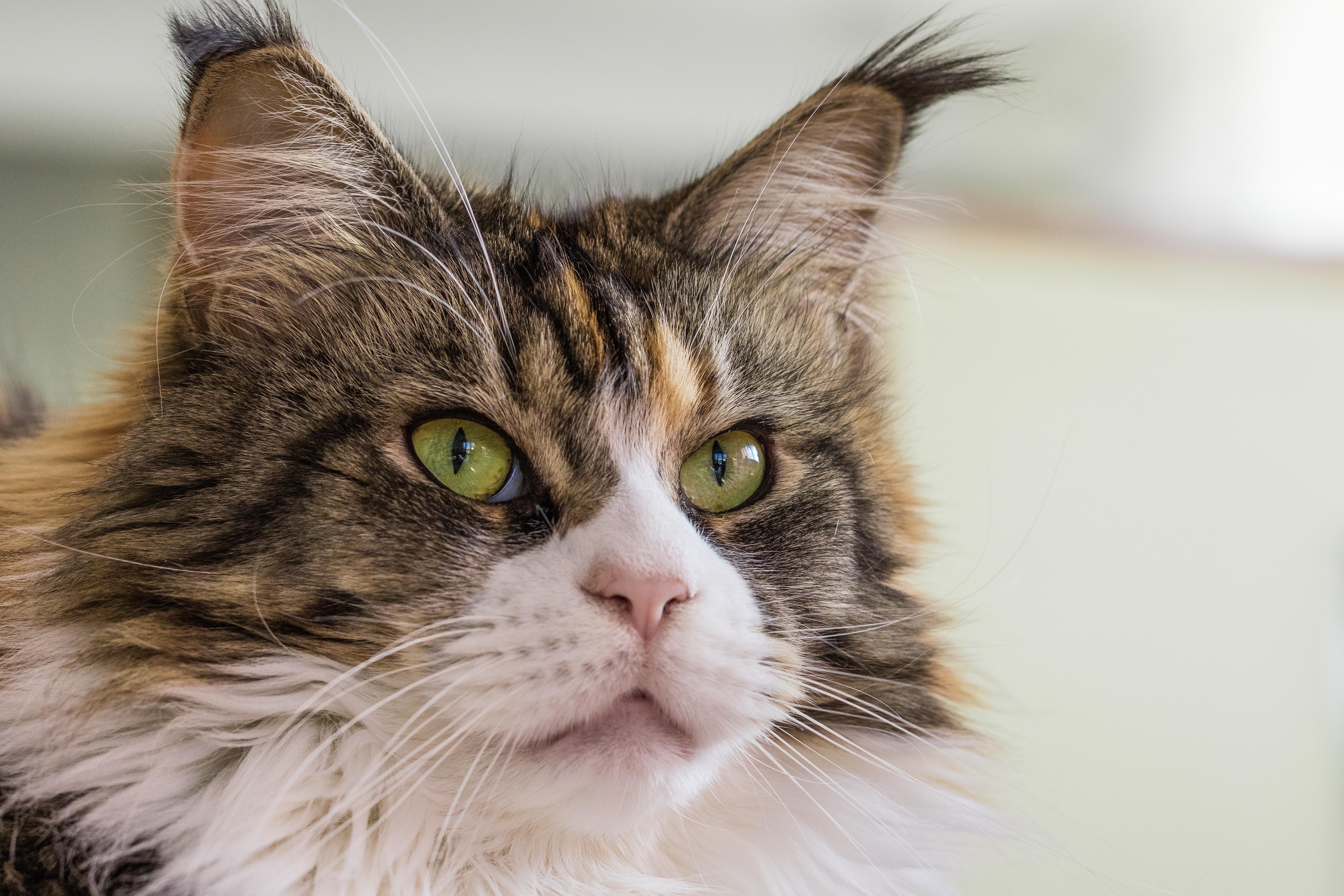 Immagini belle pelliccia gattino baffi avvicinamento for Gatto della foresta norvegese