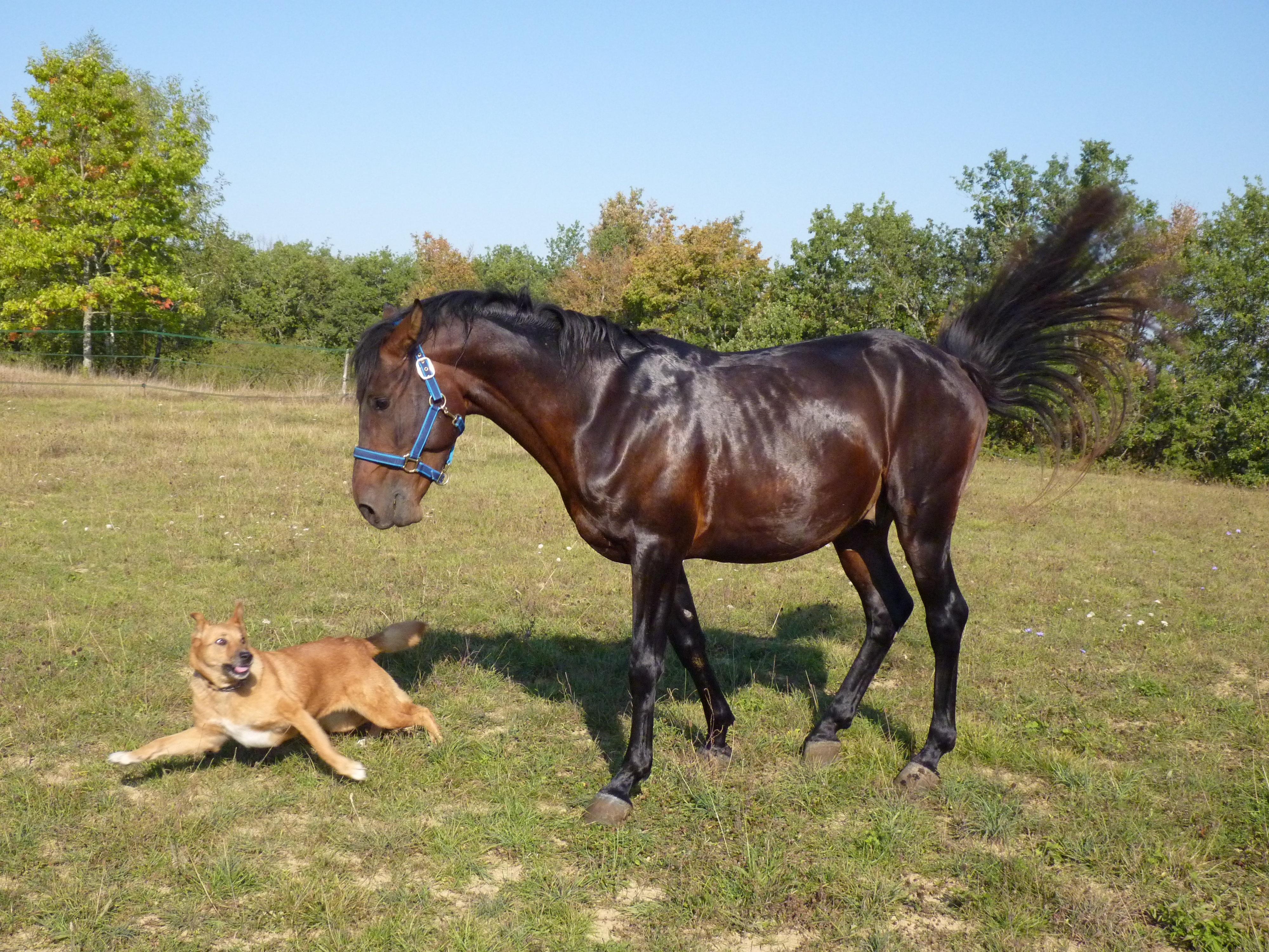 Ilmaisia Kuvia : peli, koira, laidun, laidunmaa, ohjat, ori, harja, hevos-, hevoset ...