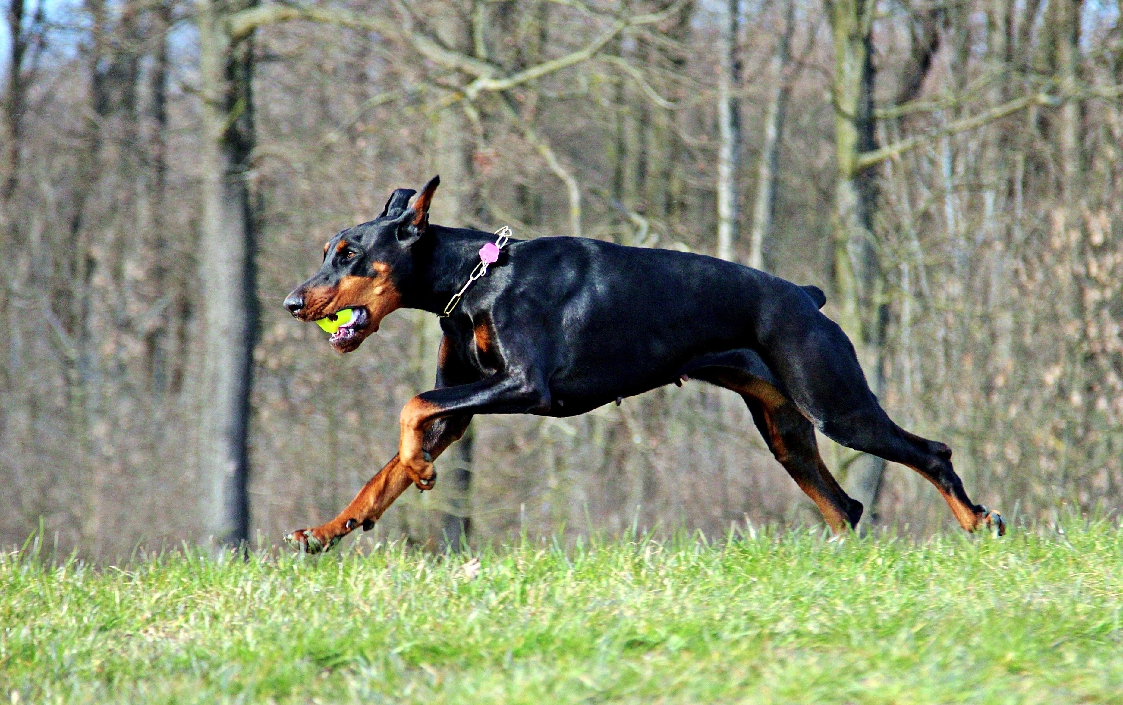 Картинки про собаку доберман