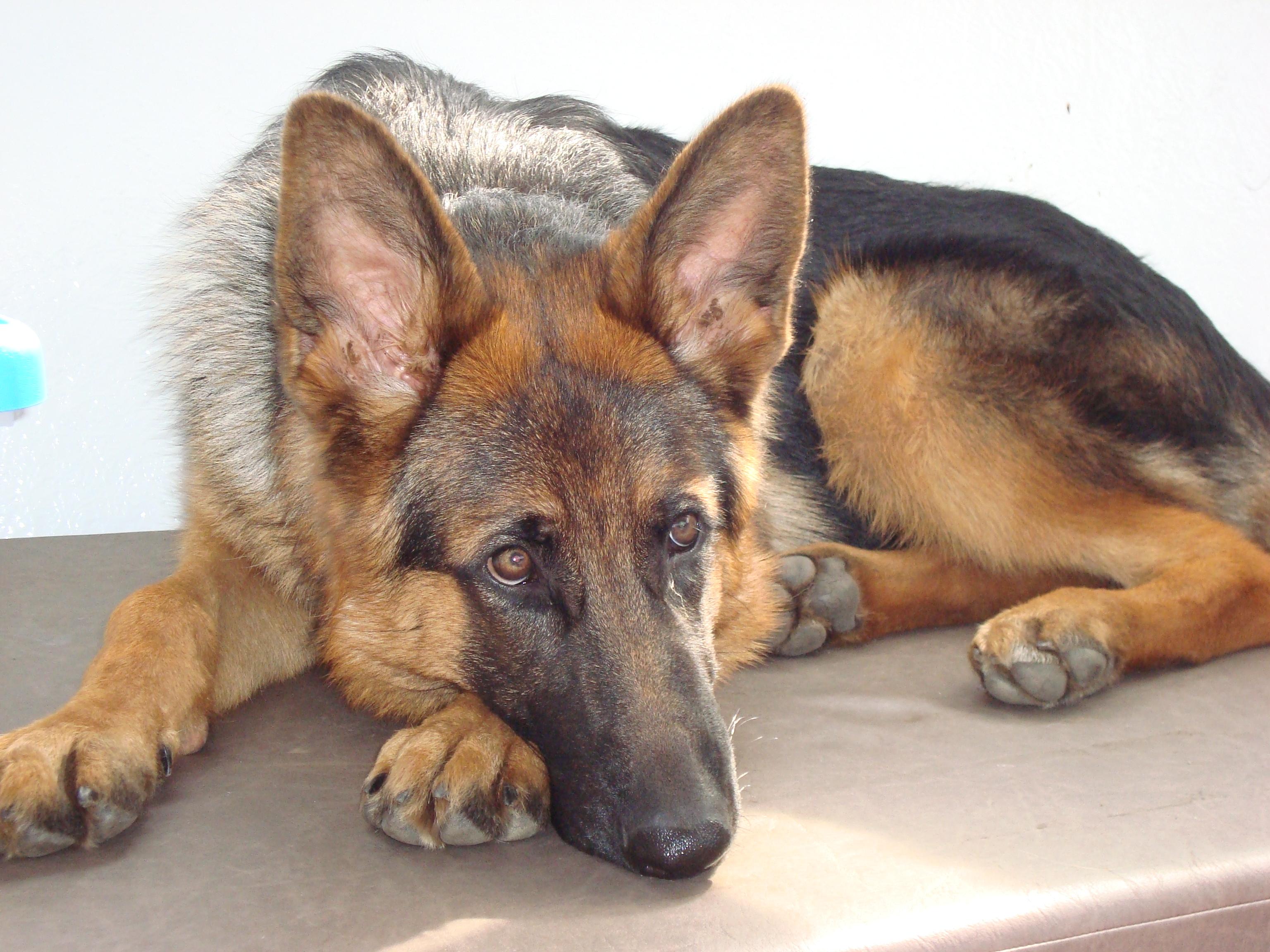 Gambar Jerman Anjing Seperti Mamalia Anjing Gembala