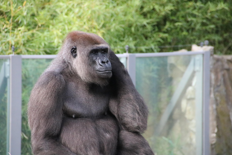 con khỉ đột Berlin vườn bách thú thế giới động vật thú vật