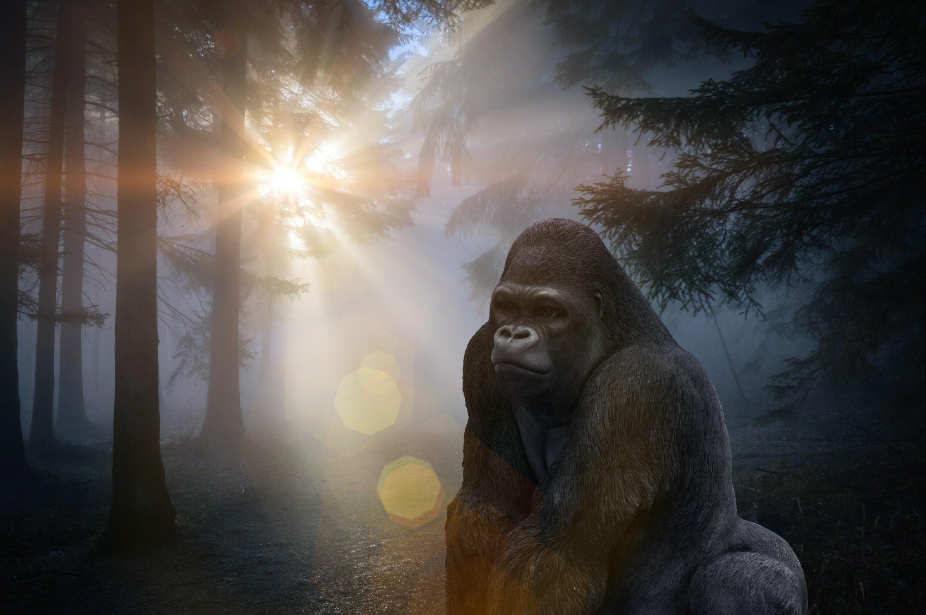 Gratis Afbeeldingen Gorilla Dieren Wereld Silverback