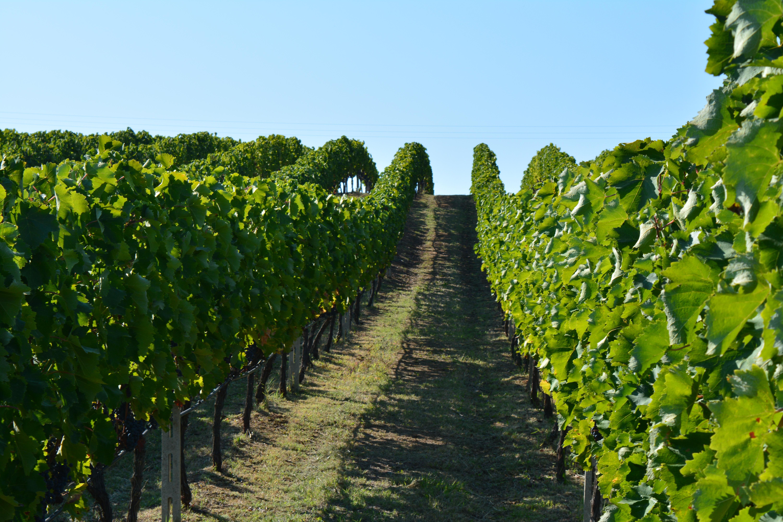 Champ De Vigne images gratuites : grain de raisin, vignoble, du vin, champ, fleur
