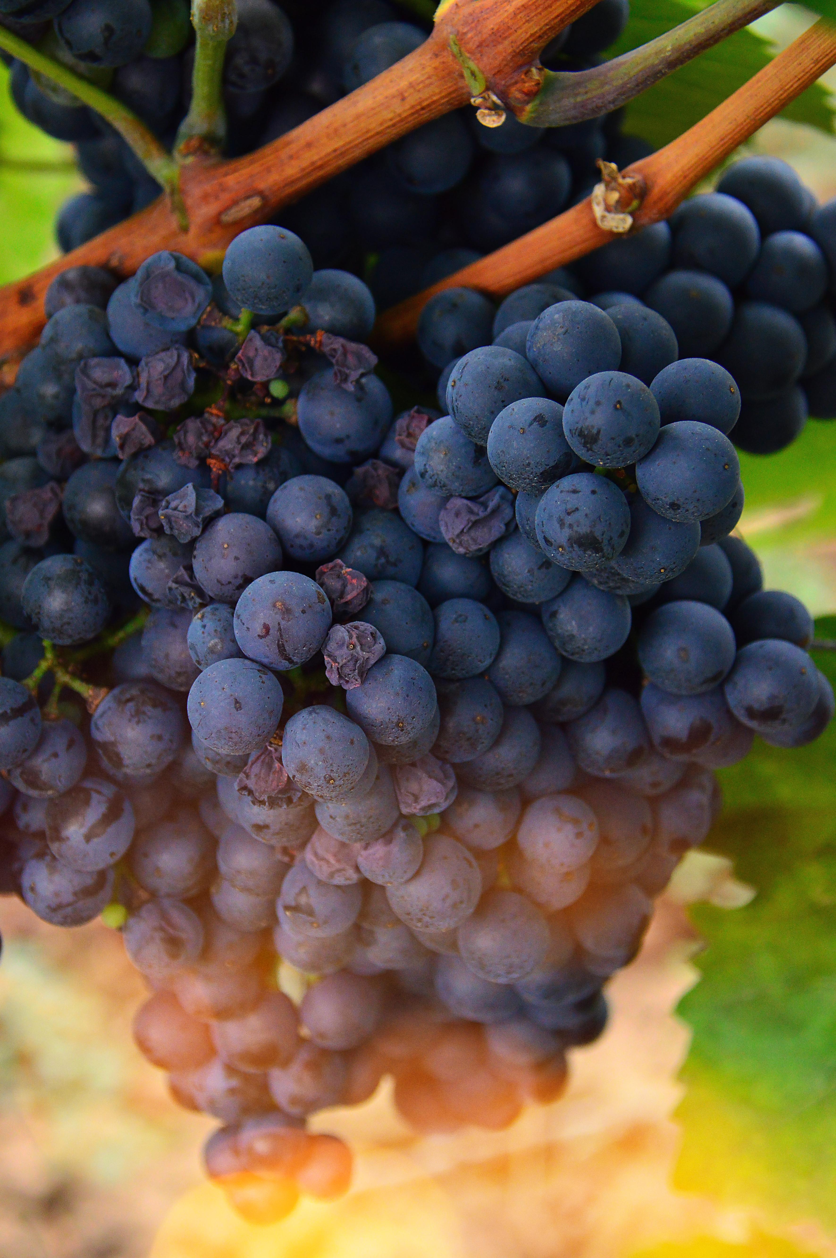 93 Gambar Anggur Segar Paling Hist