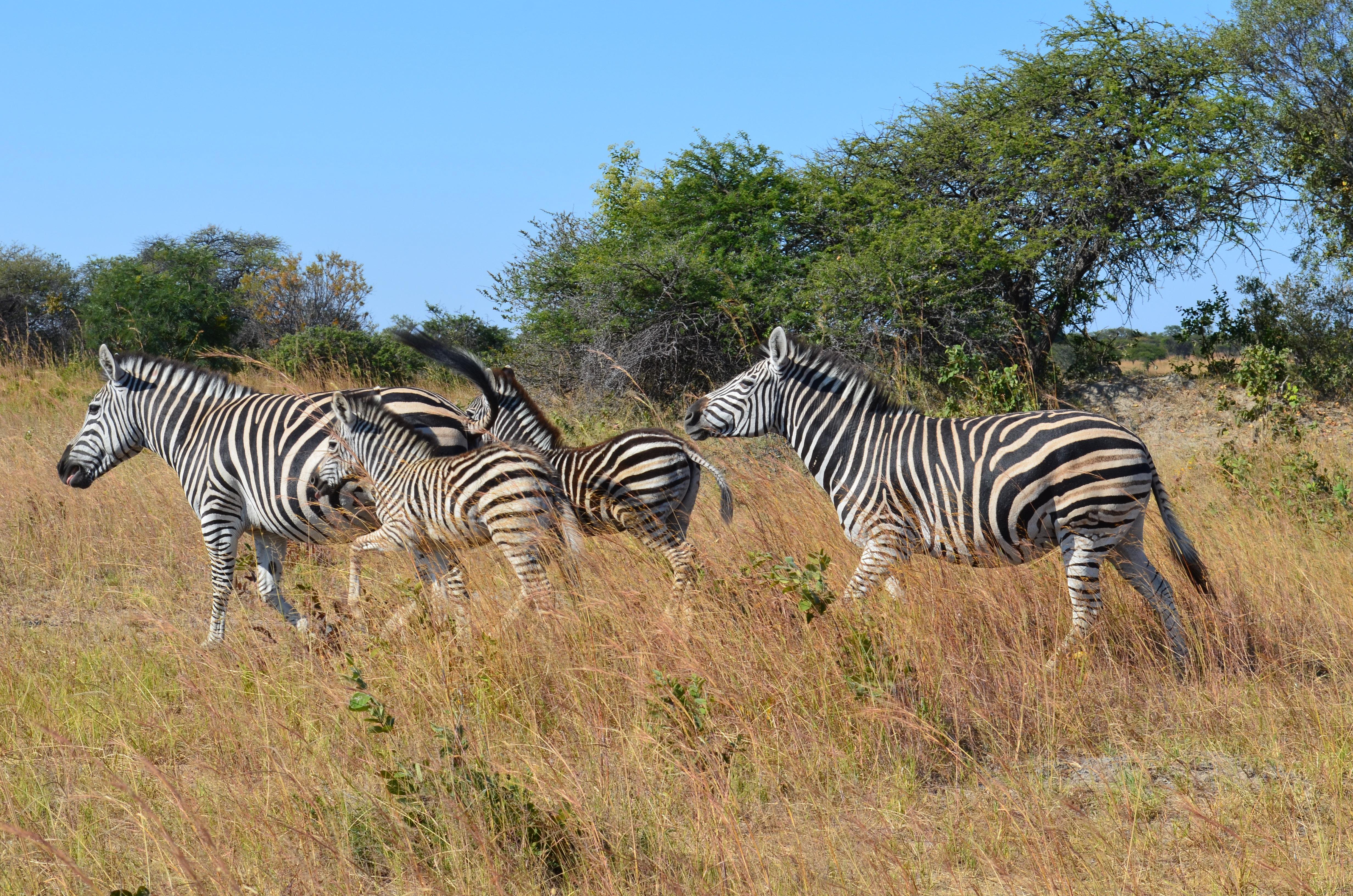 Images gratuites herbe aventure faune sauvage - Images d animaux sauvages gratuites ...