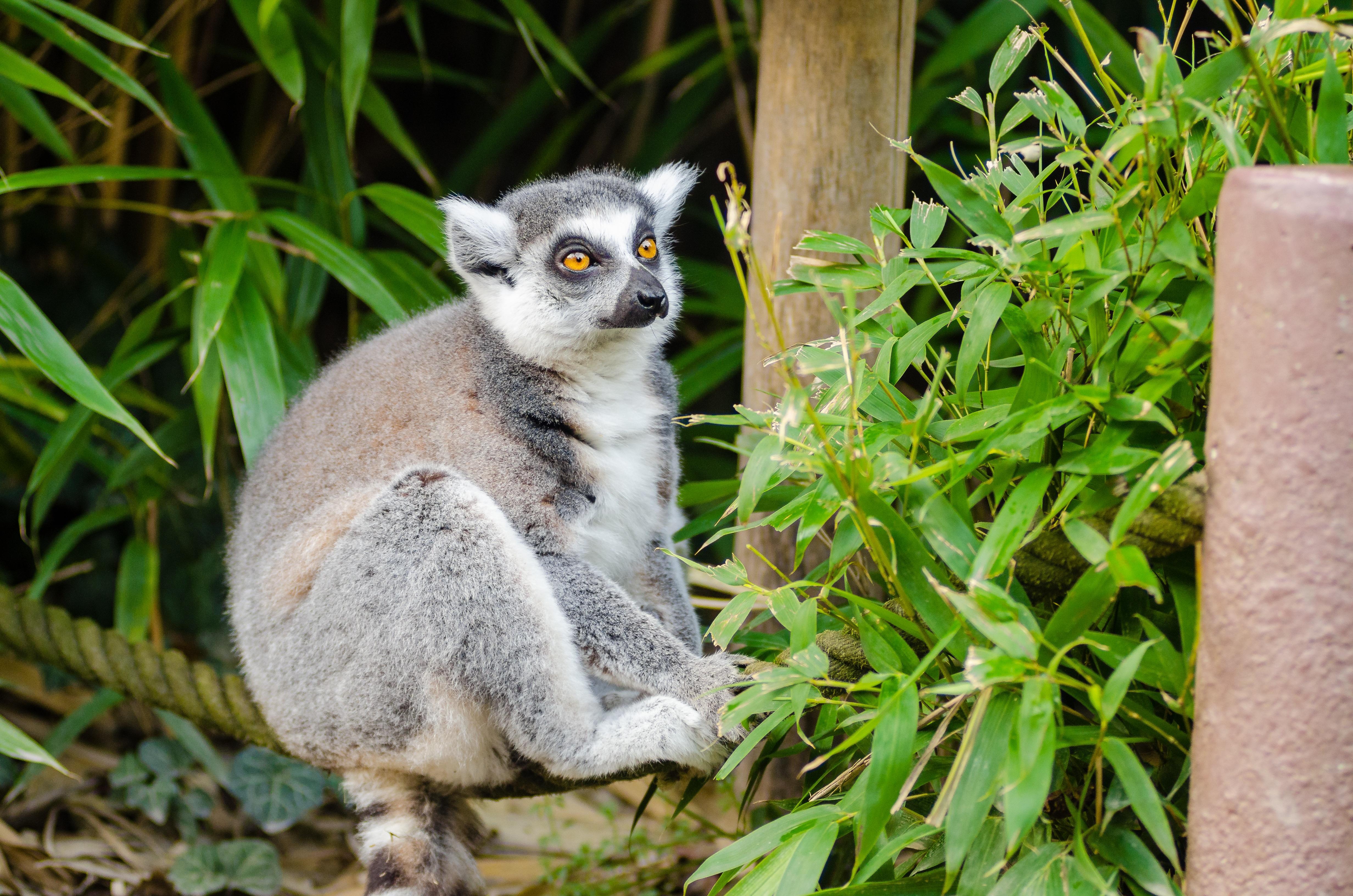 Great Lemur Wallpaper - grass-animal-cute-wildlife-zoo-fur-portrait-mammal-monkey-fauna-primate-madagascar-vertebrate-wallpaper-funny-bamboo-lemur-catta-lemuridae-marsupial-curious-black-grey-white-tail-ringed-626151  Collection_202820.jpg