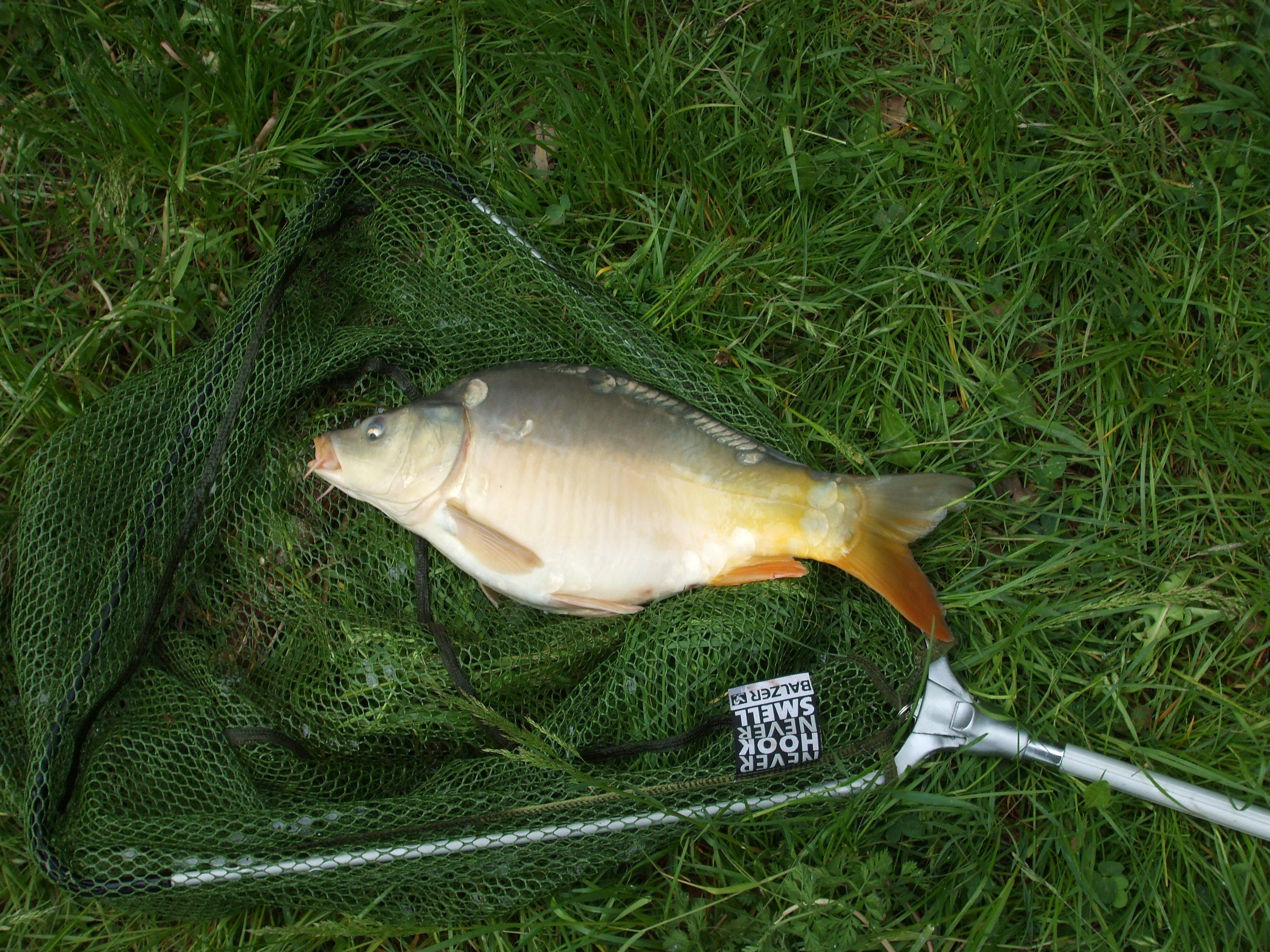 Fotos gratis c sped animal comida pescar perca for Carpa comida