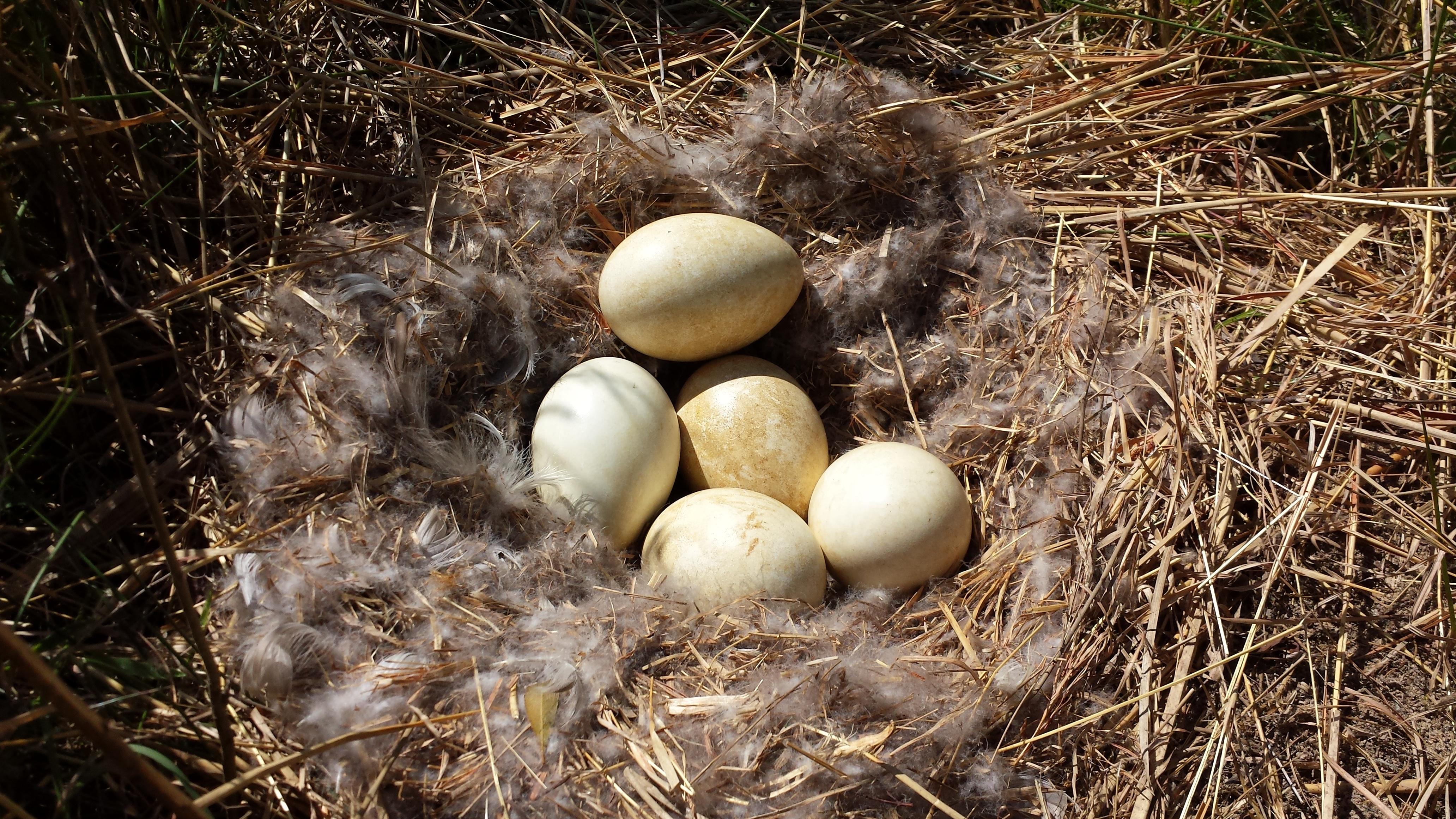 птицы фото гнездятся в траве отказался из-за того