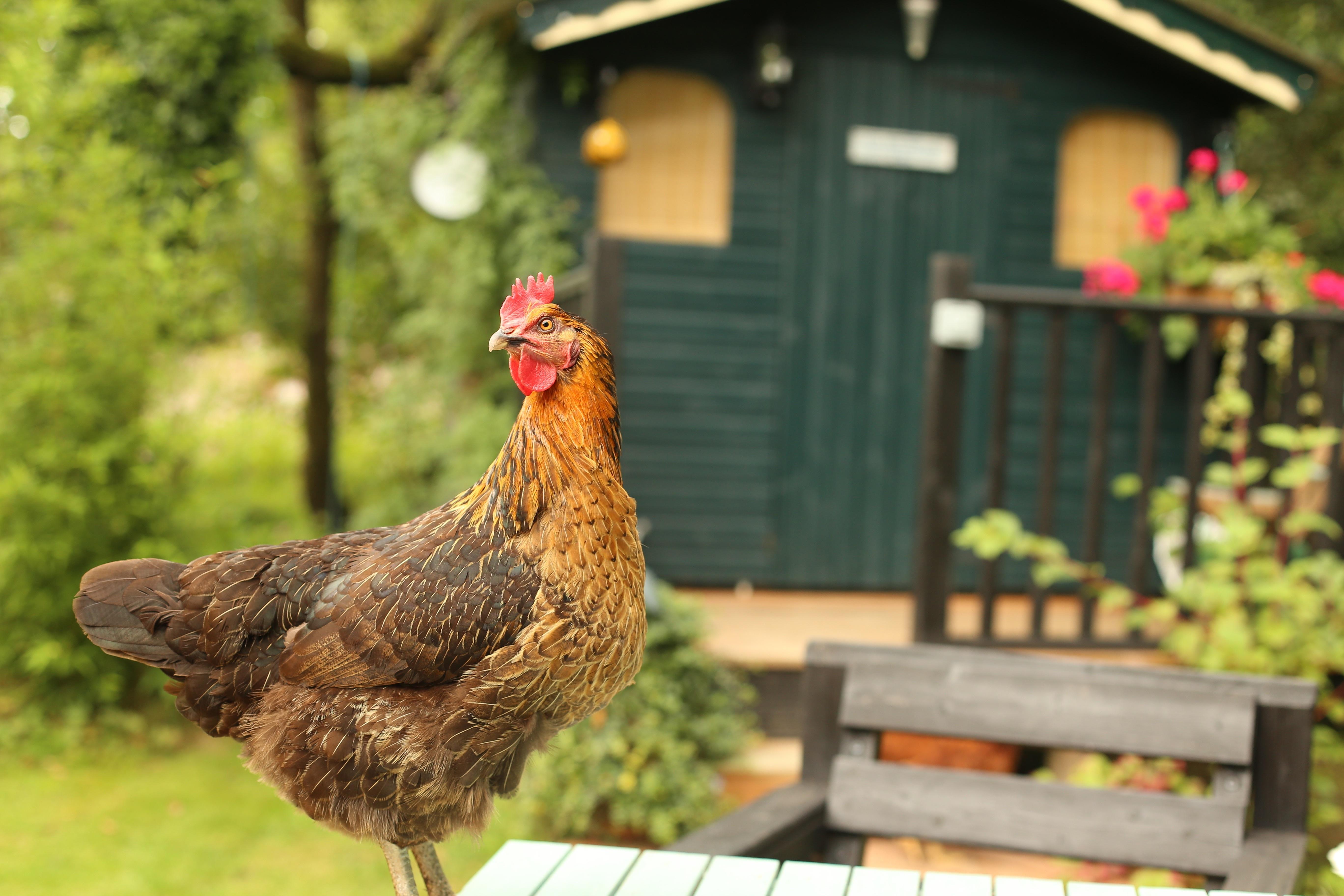 Veren In Huis : Gratis afbeeldingen : gras vogel hout farm huis dier landelijk