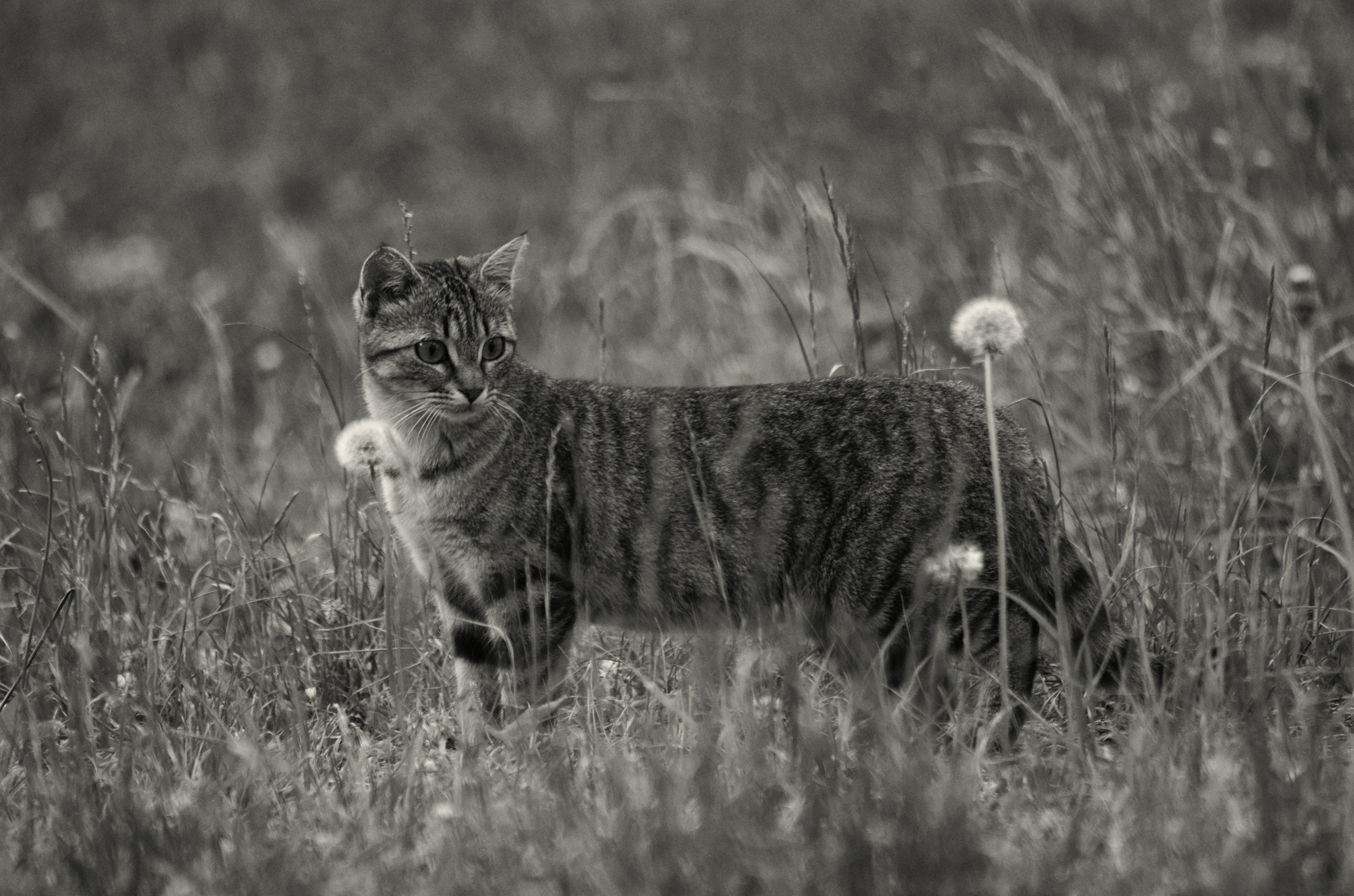 Fabuleux Images Gratuites : herbe, noir et blanc, faune, félin, tigré  YN94