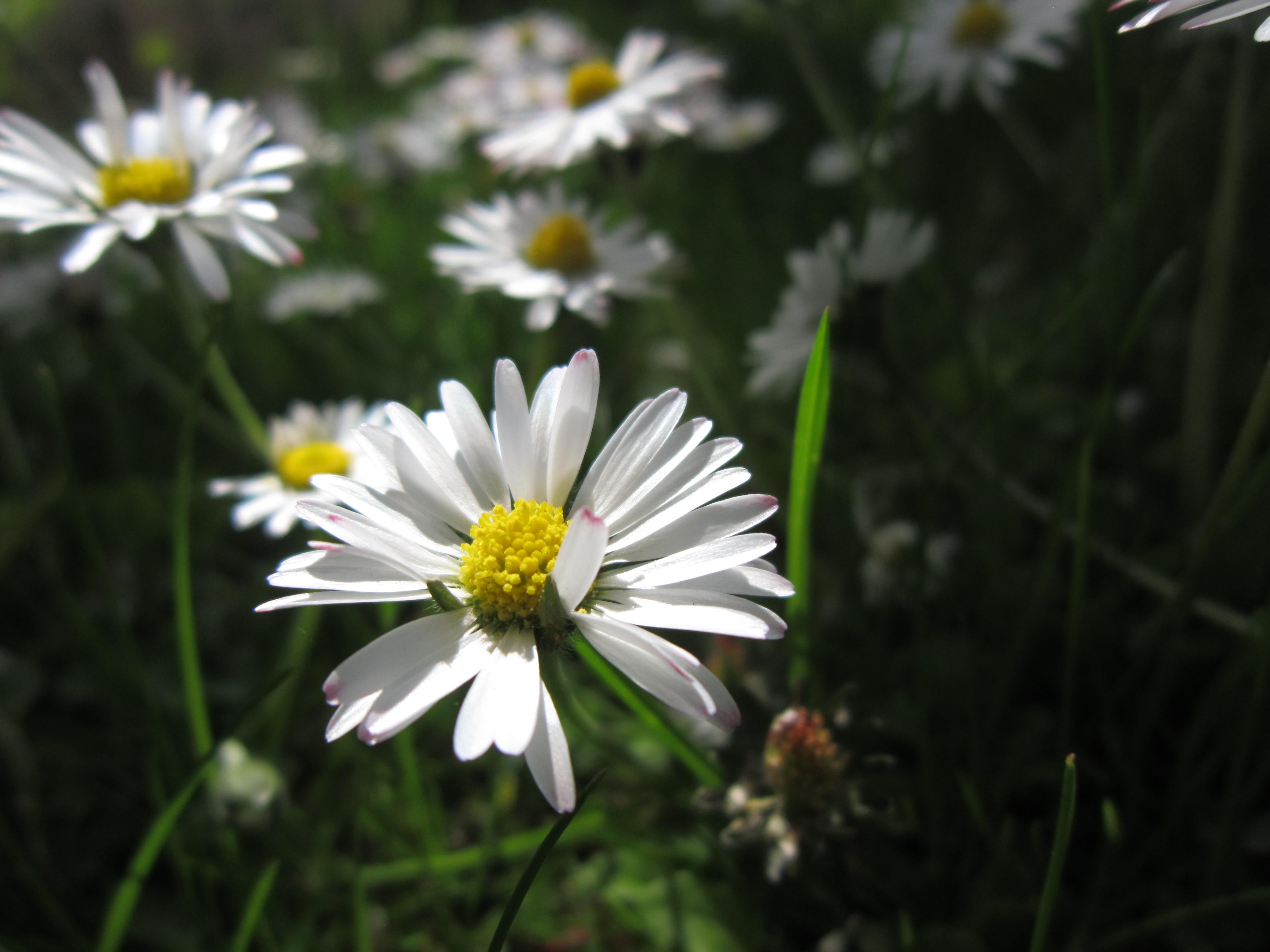 Gambar Mekar Cahaya Menanam Sinar Matahari Putih Bidang Padang Rumput Daun Bunga Berkembang Bunga Aster Musim Semi Kecil Botani Dekat Flora Bunga Liar Kelopak Fotografi Makro Tanaman Berbunga Keluarga Daisy Mata