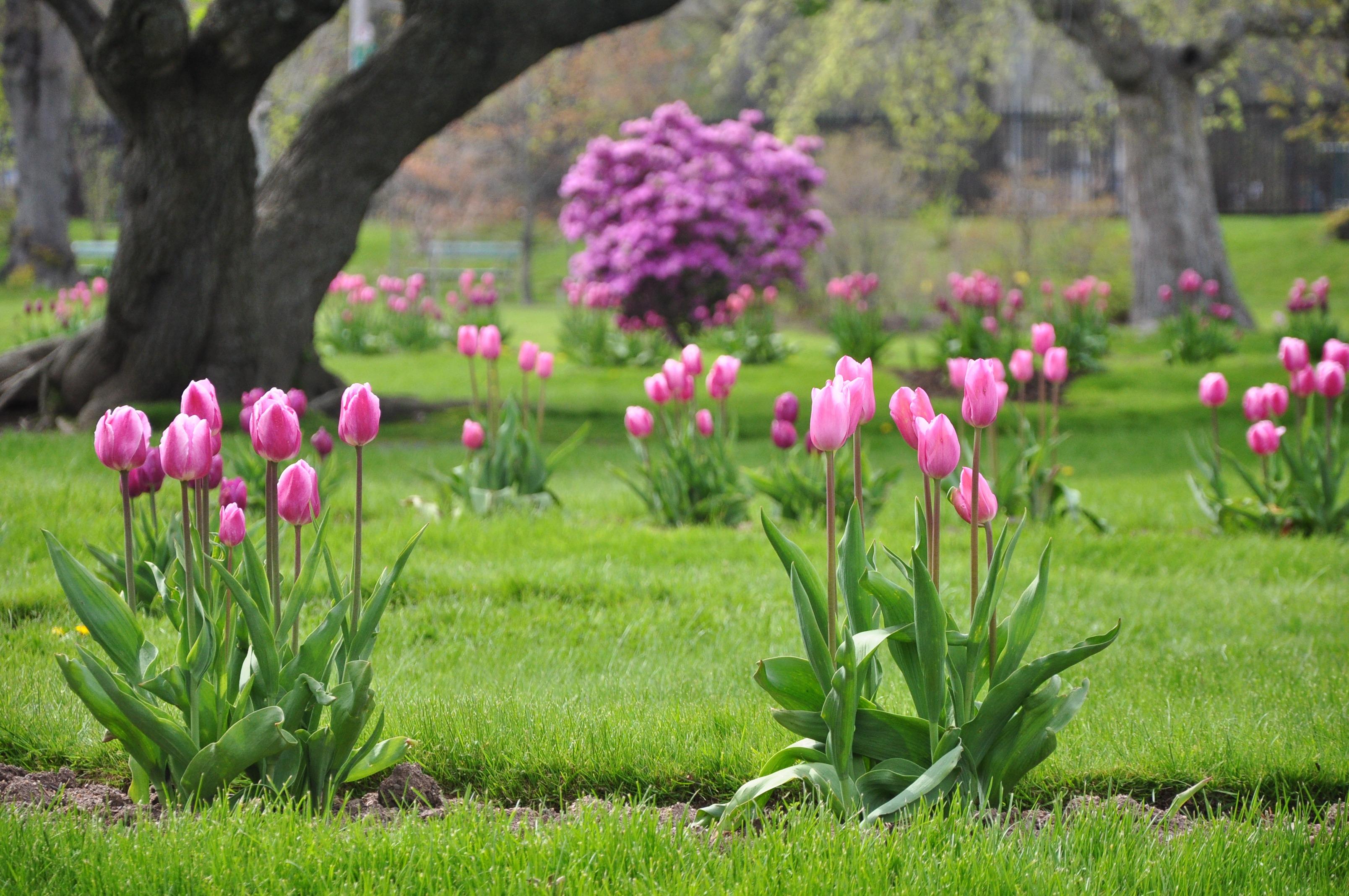 тюльпаны на клумбе с другими цветами фото формой лица
