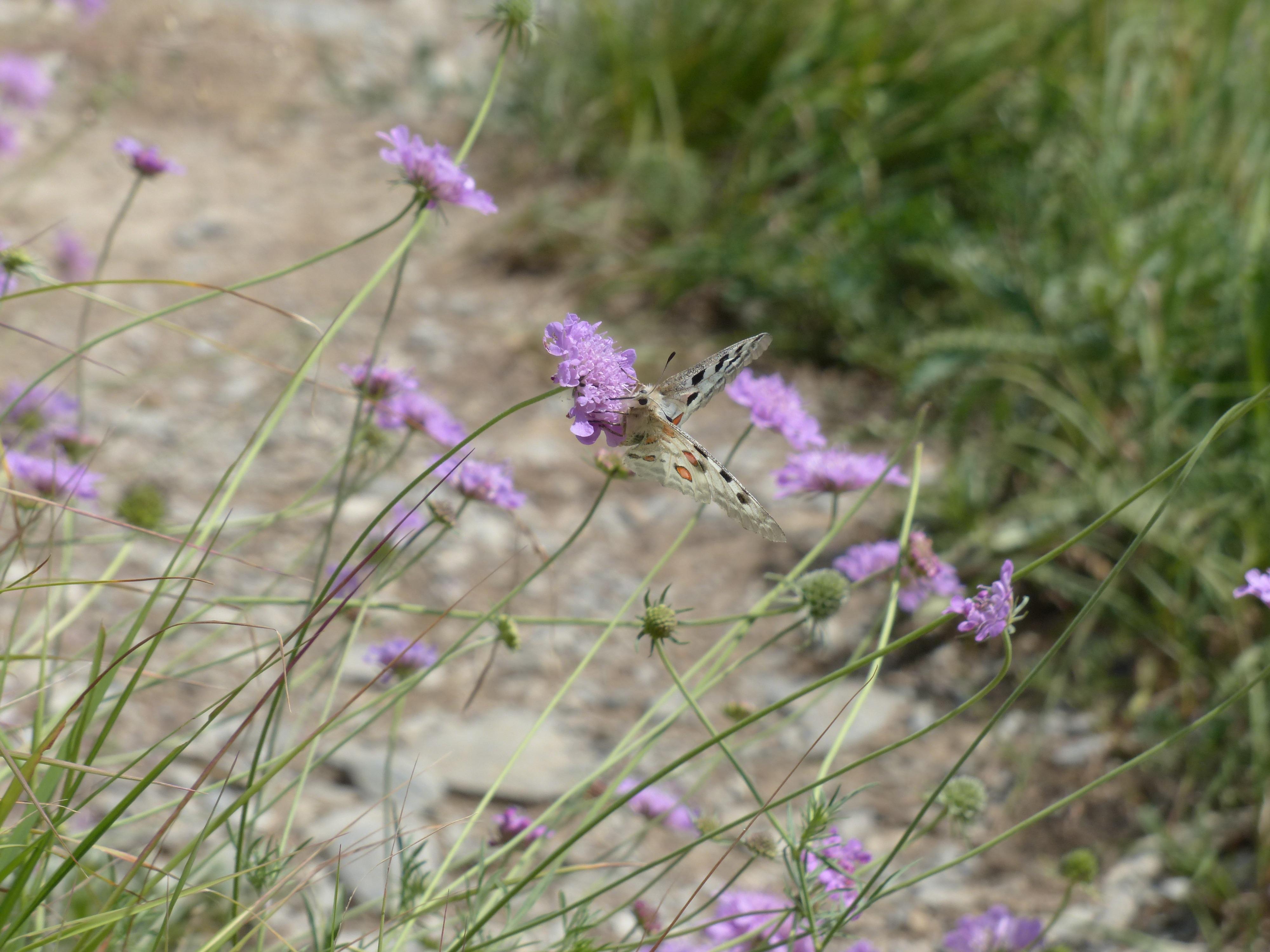 Free Images Blossom White Meadow Prairie Purple Bloom Herb
