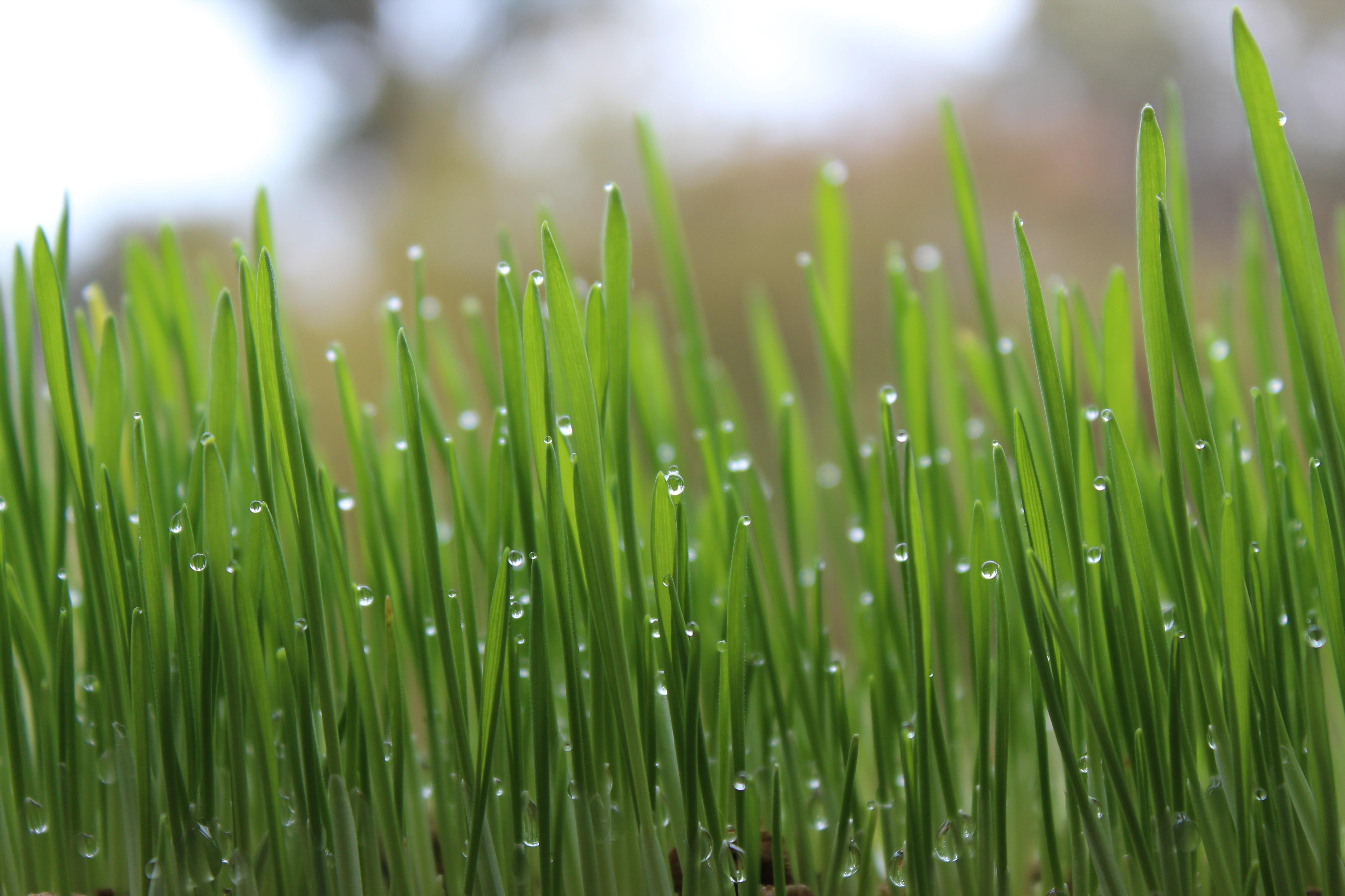 Images gratuites herbe branche ros e pelouse feuille for Plante herbe haute