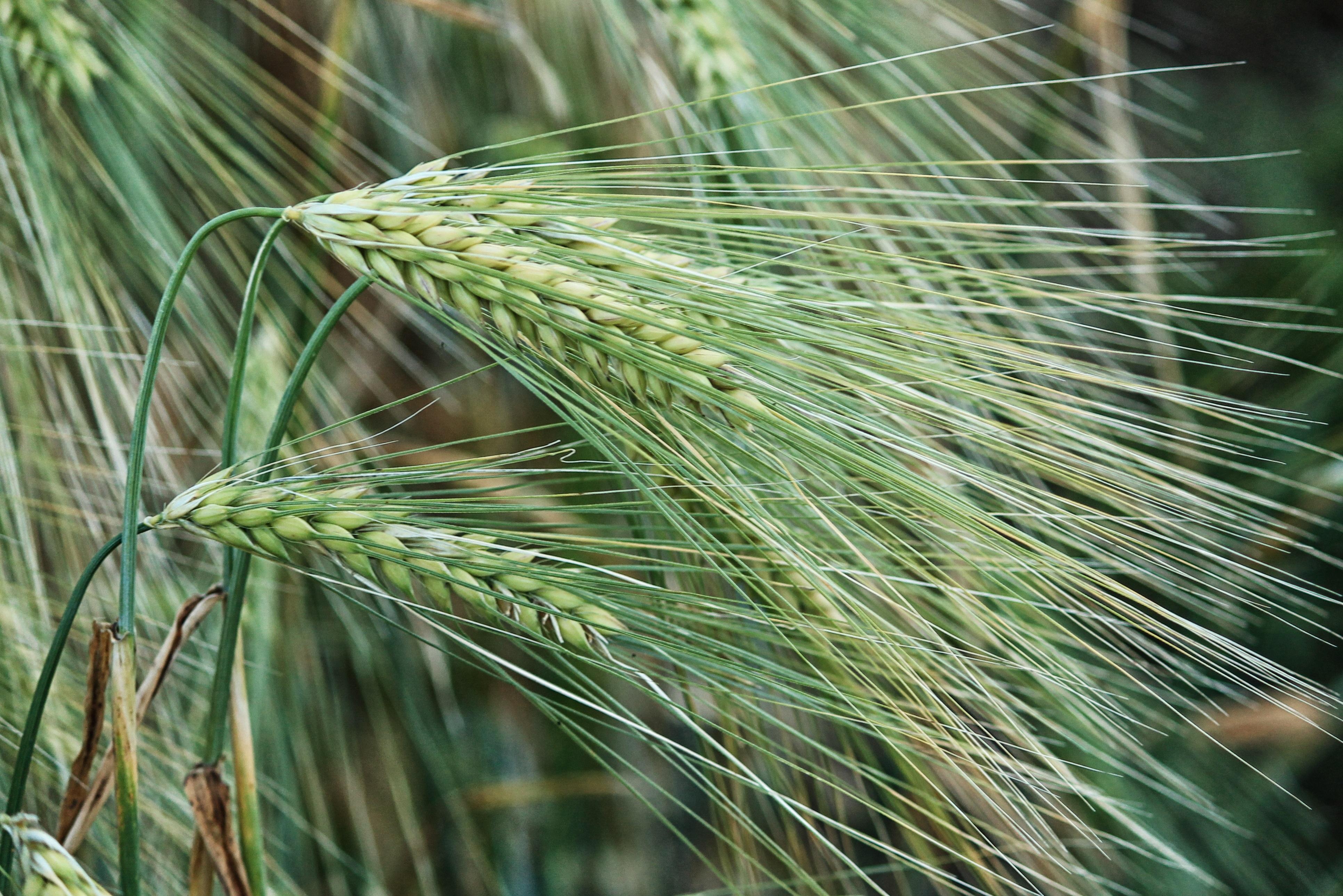 картинки злаковых трав переднюю