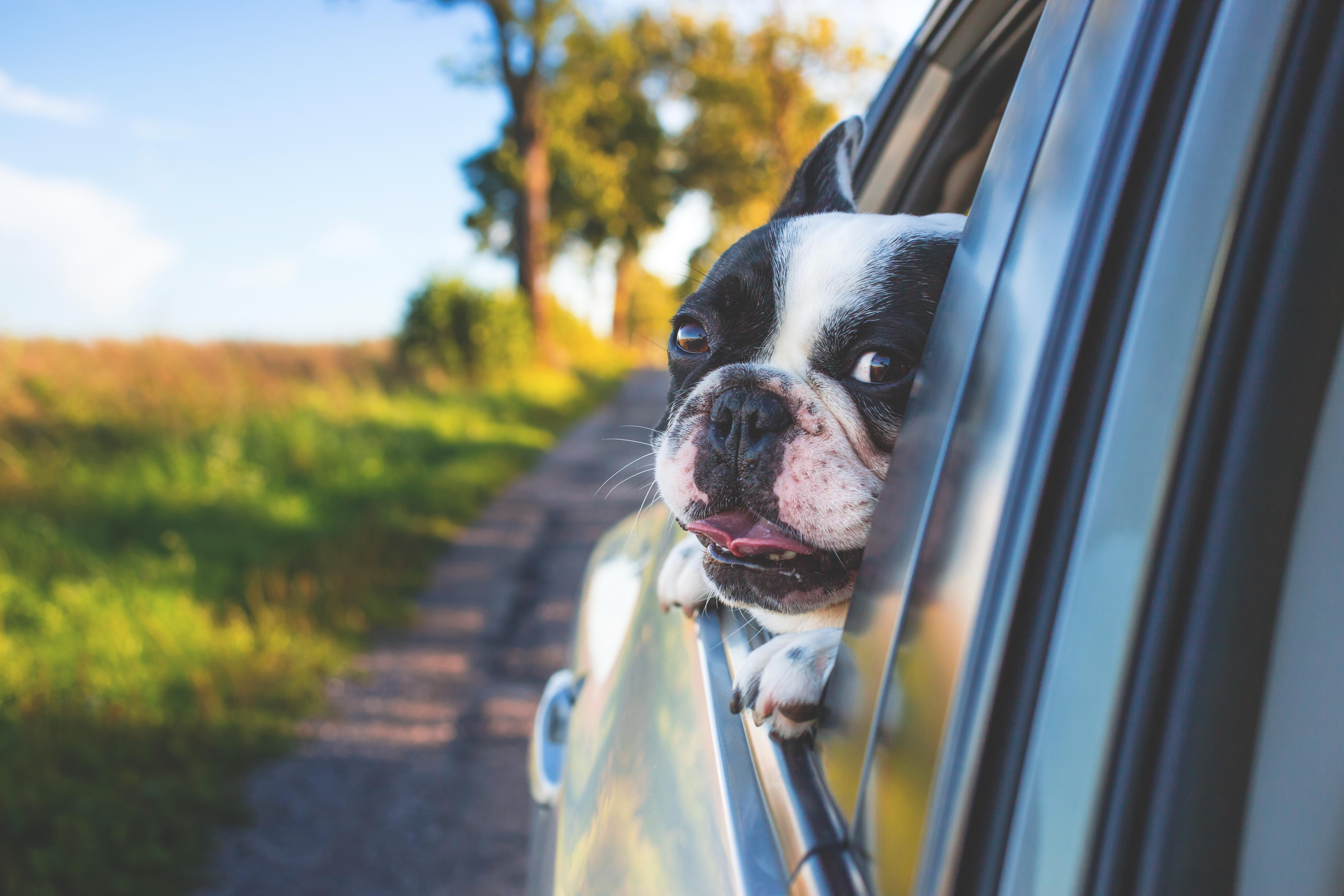 Cool Bulldog Canine Adorable Dog - grass-car-window-dog-animal-cute-canine-pet-mammal-bulldog-vertebrate-adorable-french-bulldog-boston-terrier-dog-like-mammal-936530  Snapshot_372096  .jpg