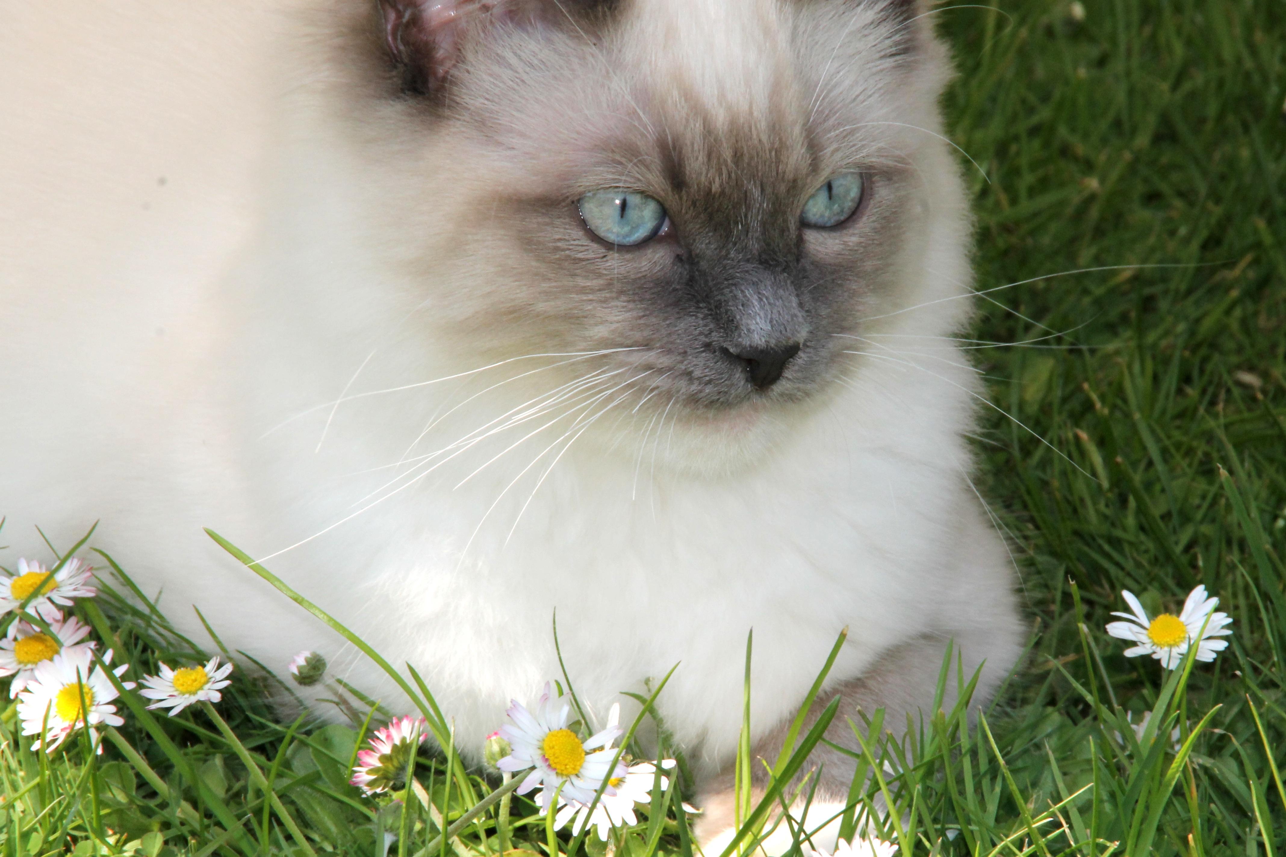 free images   grass  daisy  portrait  kitten  fauna  whiskers  adidas  animals  vertebrate