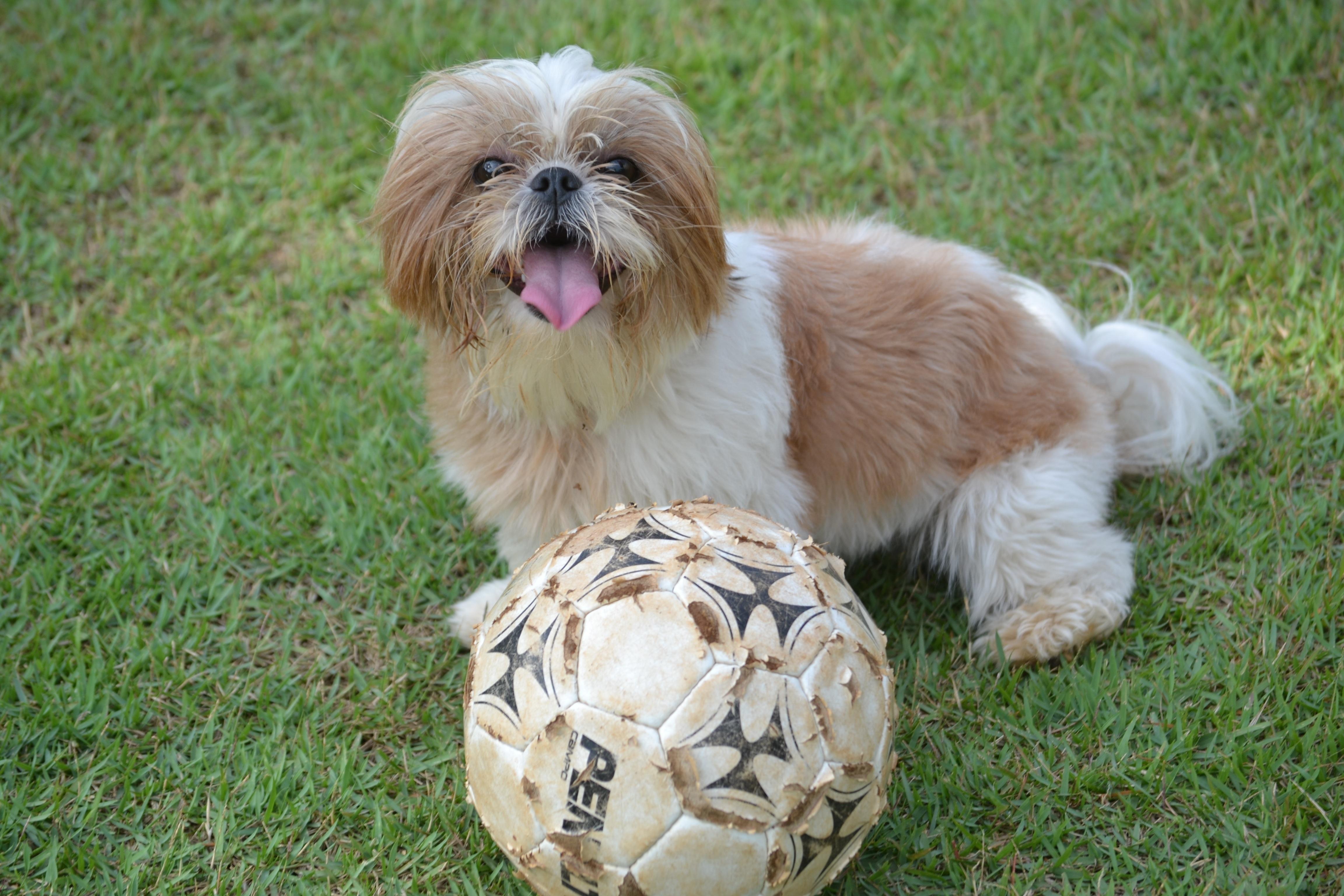 Free Images : Grass, Animal, Ball, Hairy, Vertebrate, Dog